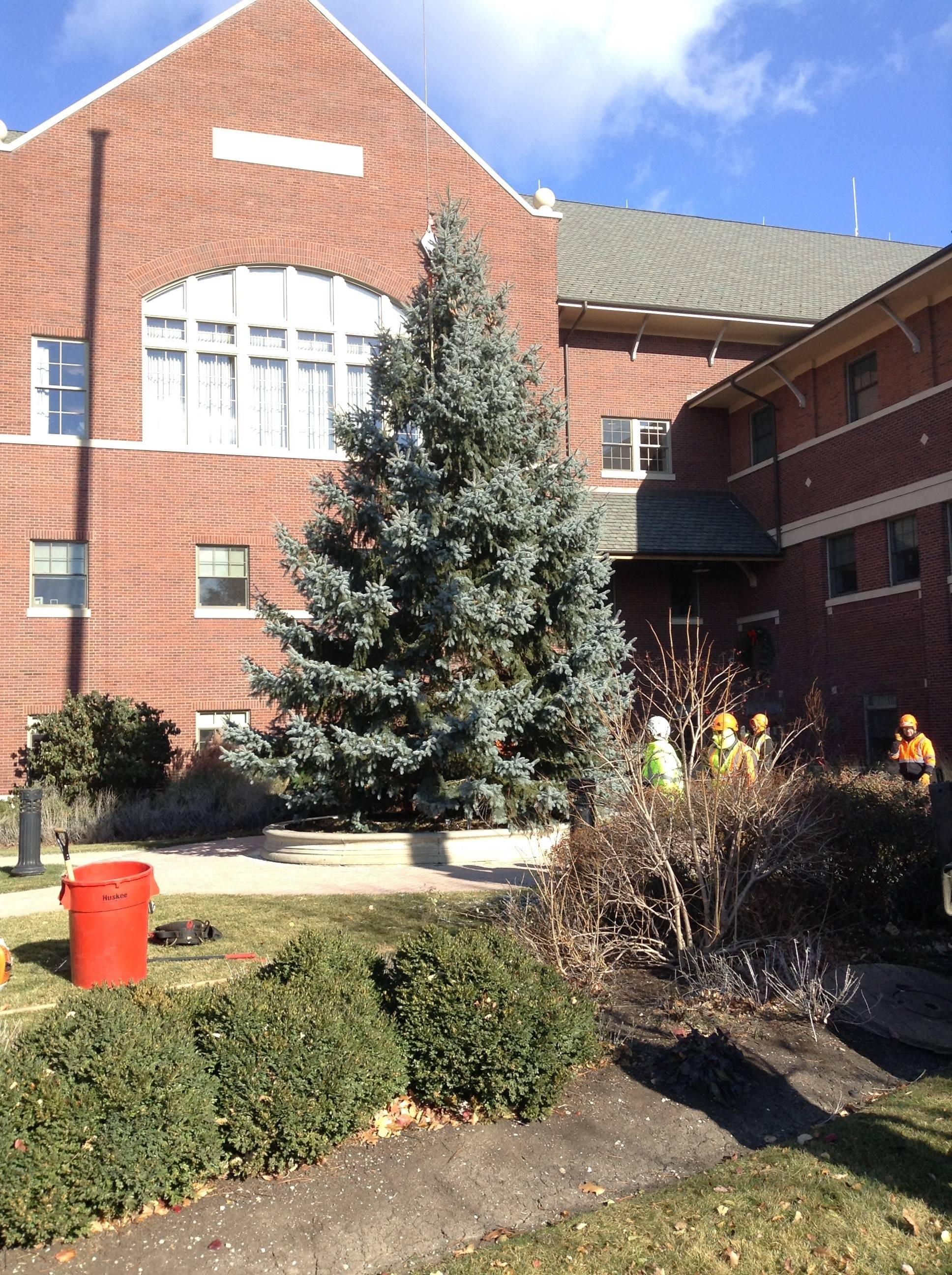 Work crews stabilize Mount Prospect's holiday tree in its spot outside village hall on Thursday. A formal tree-lighting ceremony will be held Nov. 26.
