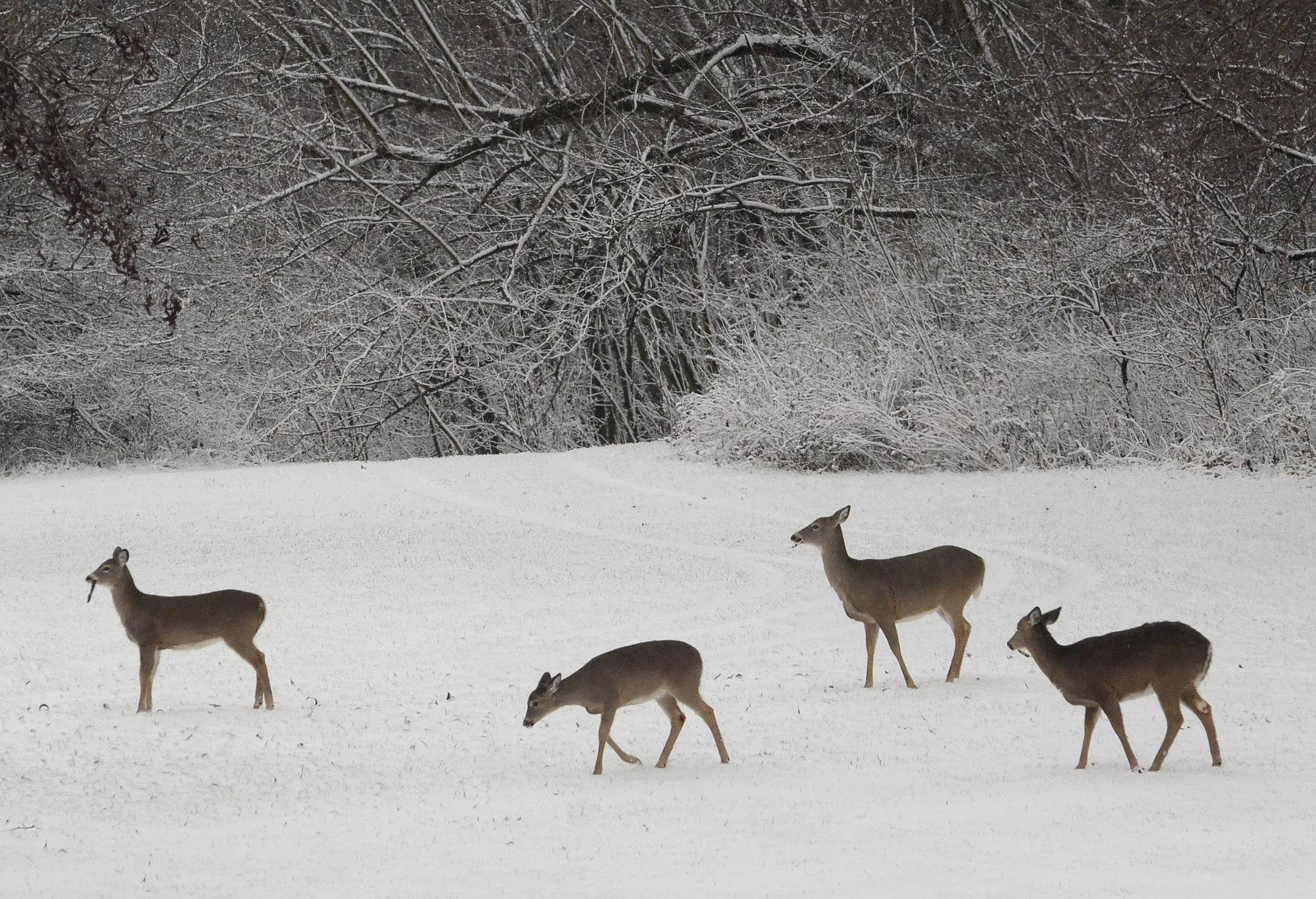 Deer wander in the snow Monday afternoon in Deer Grove East forest preserve in Palatine.