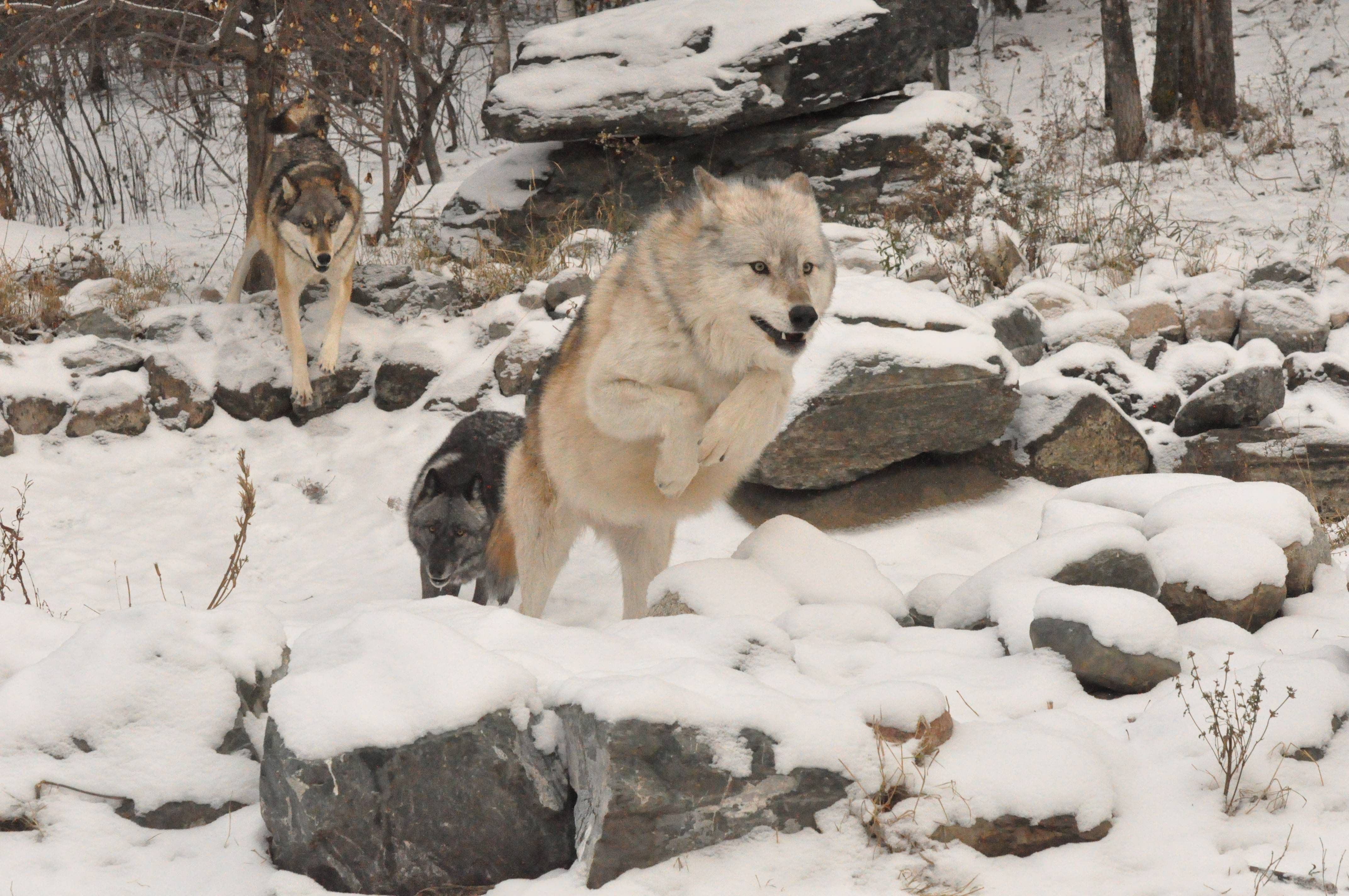 Three of the International Wolf Center's four wolf ambassadors, Boltz, Luna and Denali, thread through the woods on a chase that looks like a wolf version of tag.