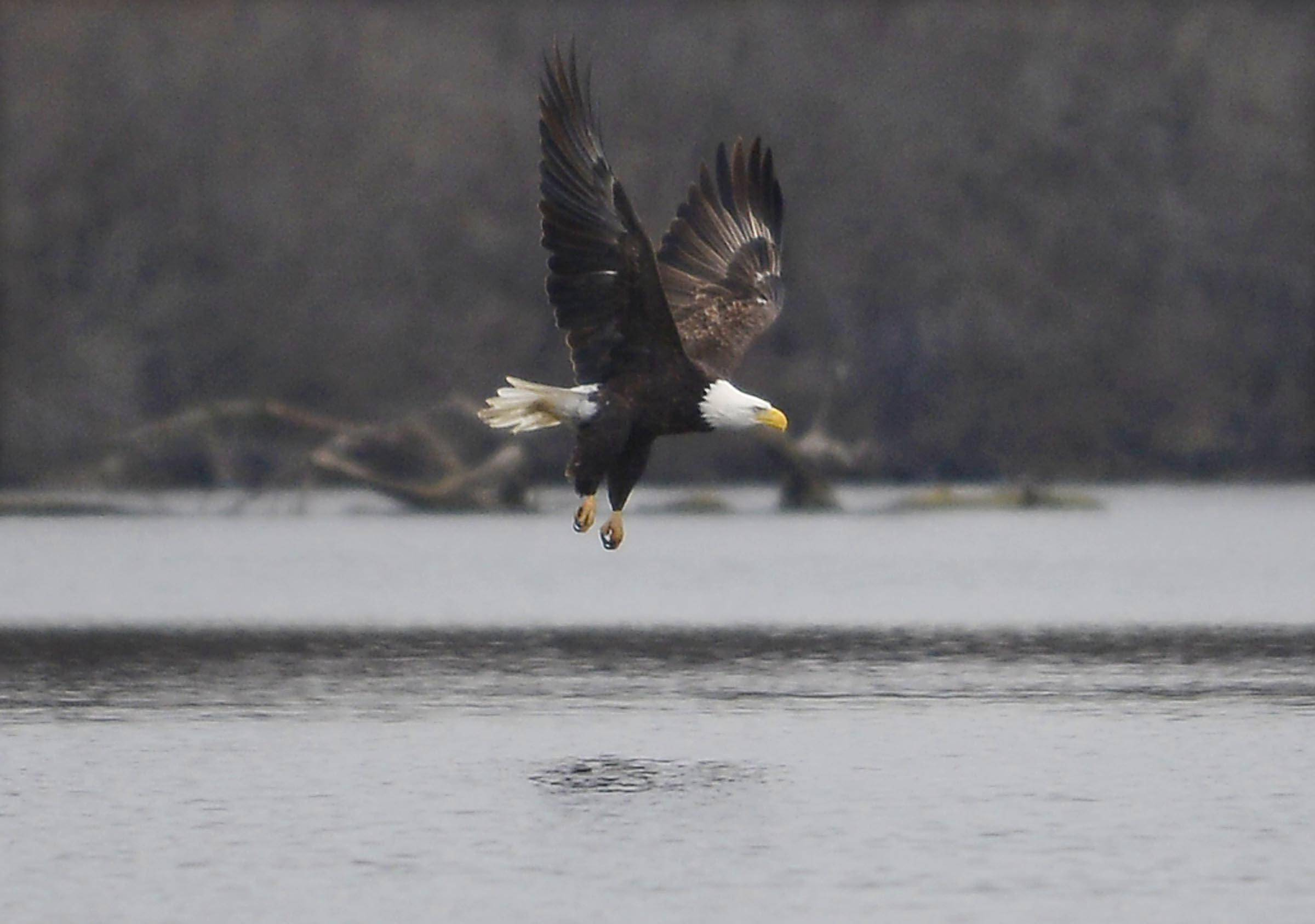 Inaugural program along Fox marks return of bald eagles