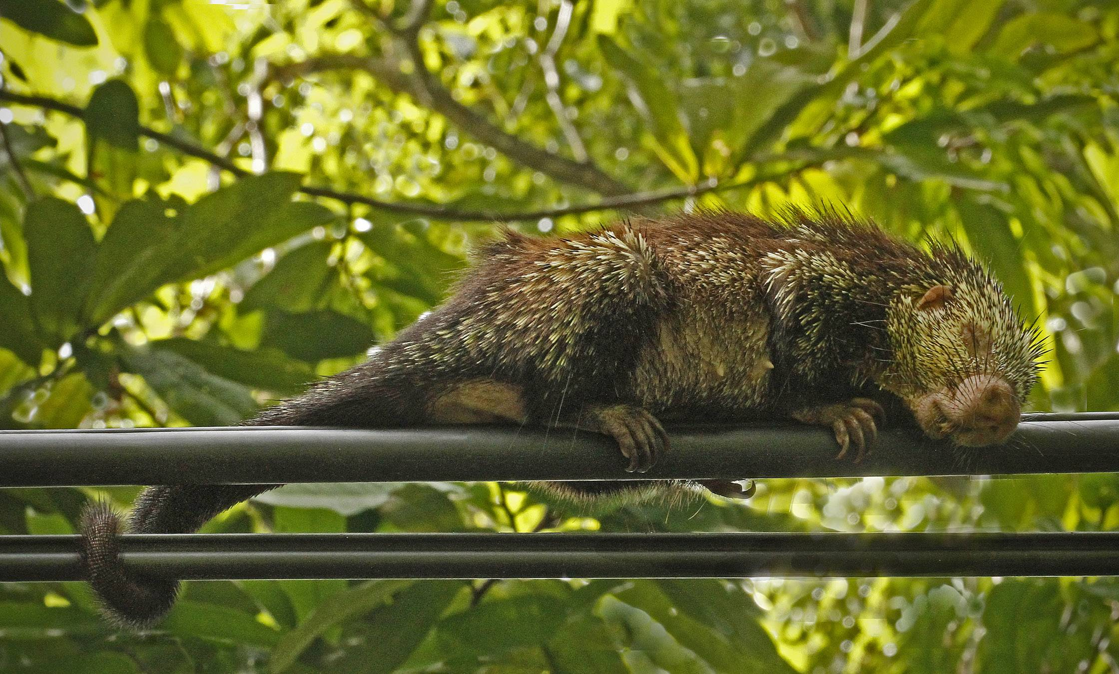 A porcupine is asleep on power lines in Costa Rica in October of 2012.