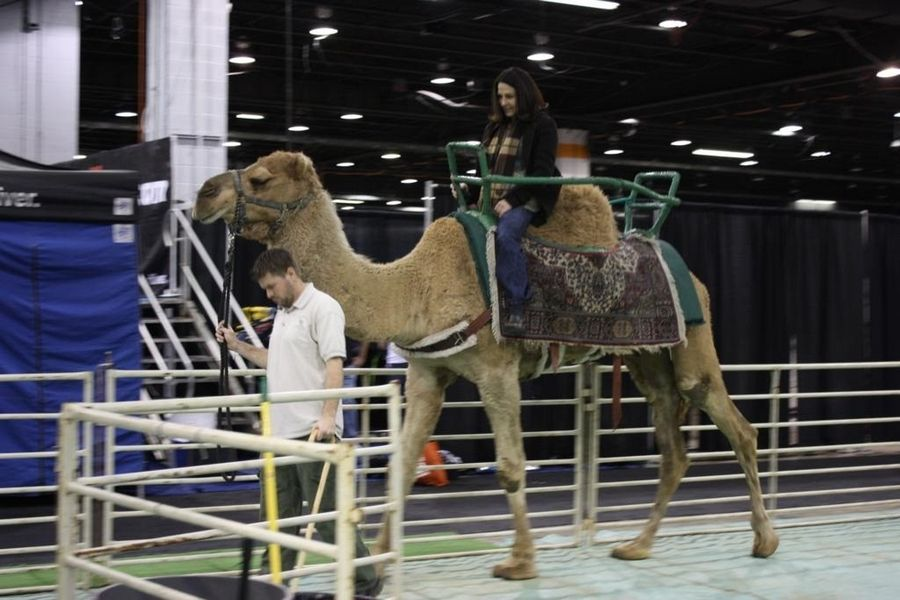 Take a camel ride at the Chicago Travel & Adventure Show.