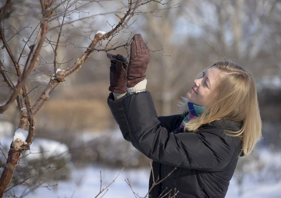 Murphy Westwood examines a Chinese paperbark maple at the Morton Arboretum in Lisle. The arboretum is working with a botanical garden in China and other arboretums in the U.S. to conserve the tree, which is threatened in China.