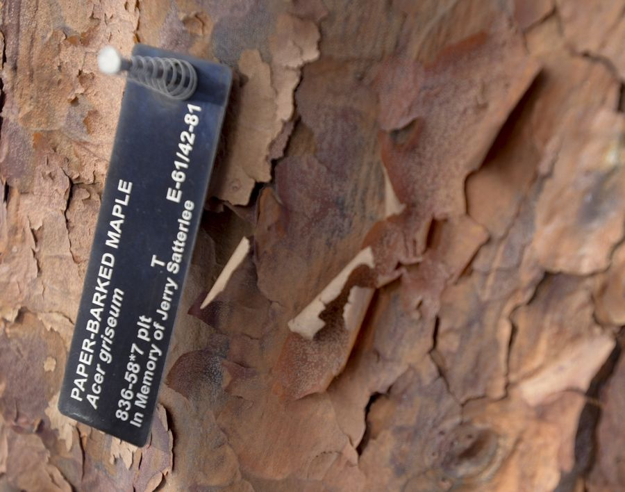 The Chinese paperbark maple is known for its cinnamon-colored bark that peels in thin layers like paper.