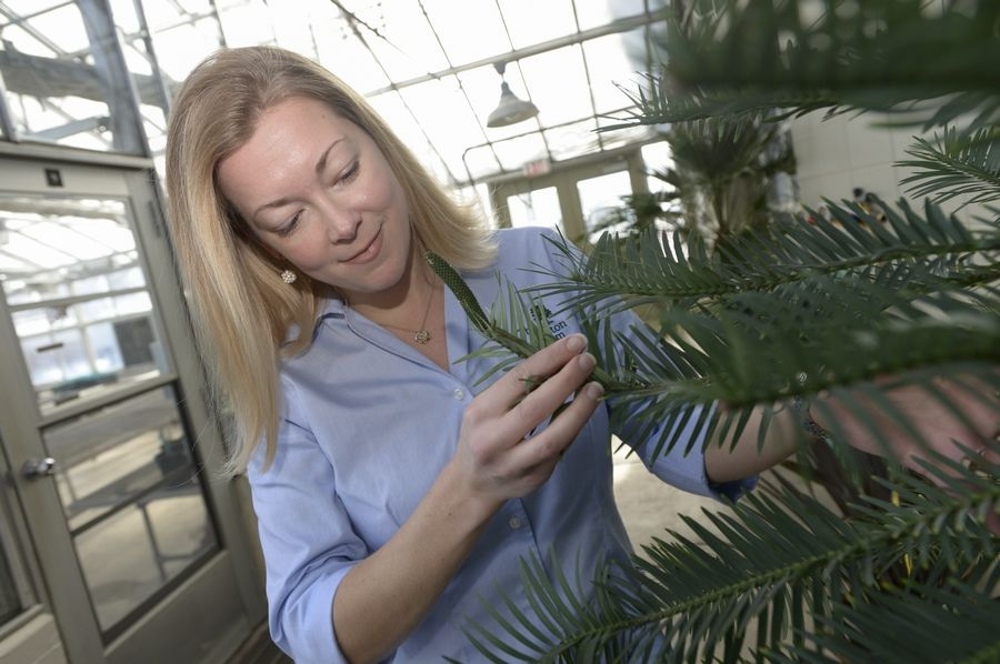 Murphy Westwood examines the Wollemi pine, a favorite tree of hers from Australia, which is growing in the arboretum's greenhouse.