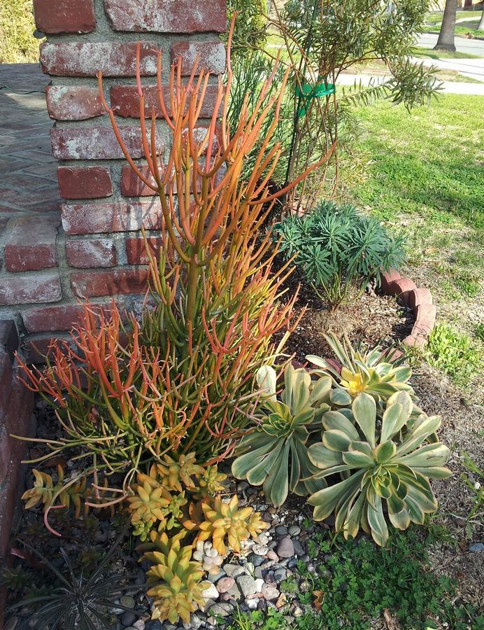 "This drought-tolerant garden features plants such as a euphorbia ""Sticks on Fire,"" sedums, aeoniums and a Madagascar palm."