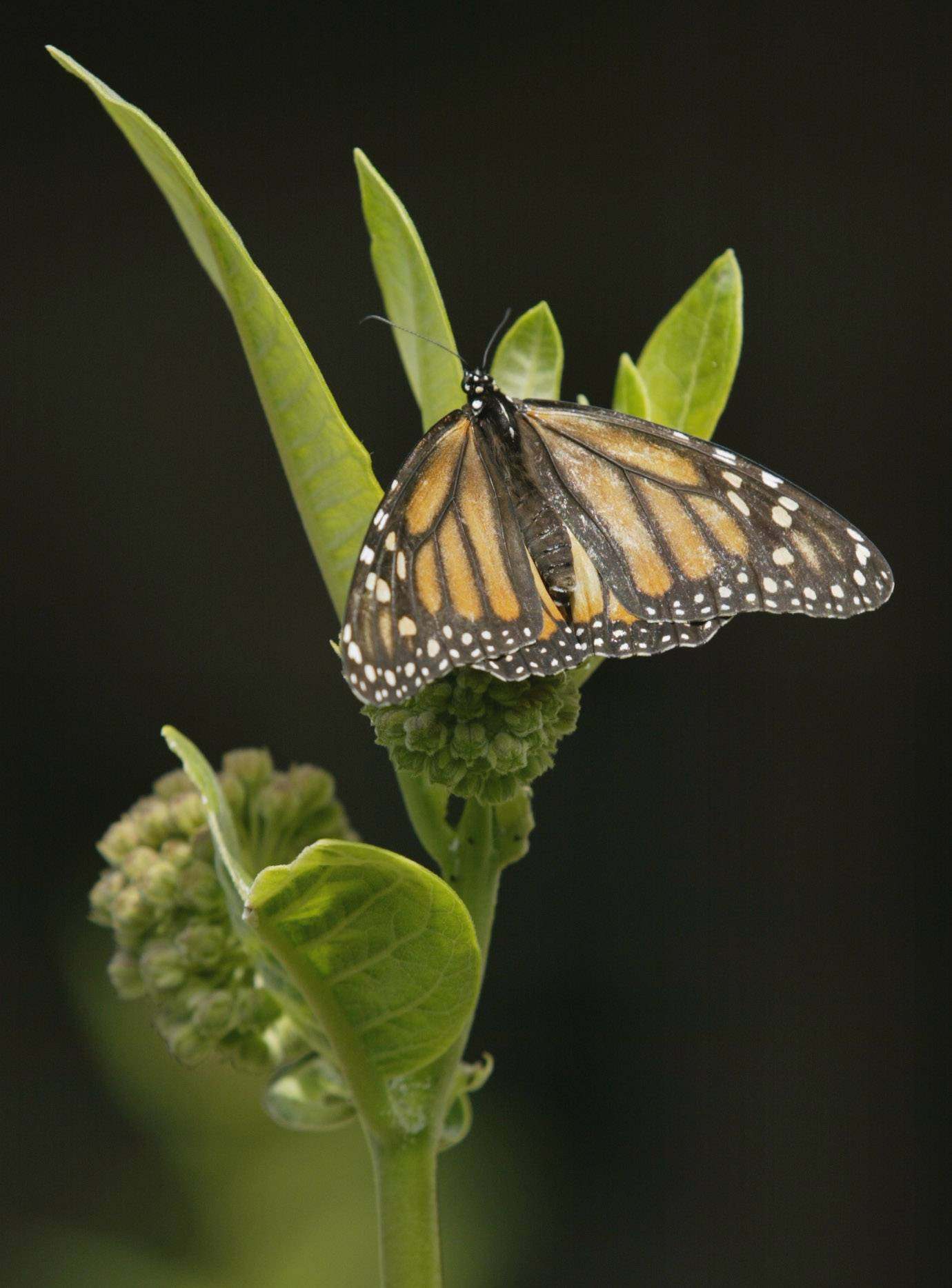 A female monarch butterfly is attracted to a milkweed plant.