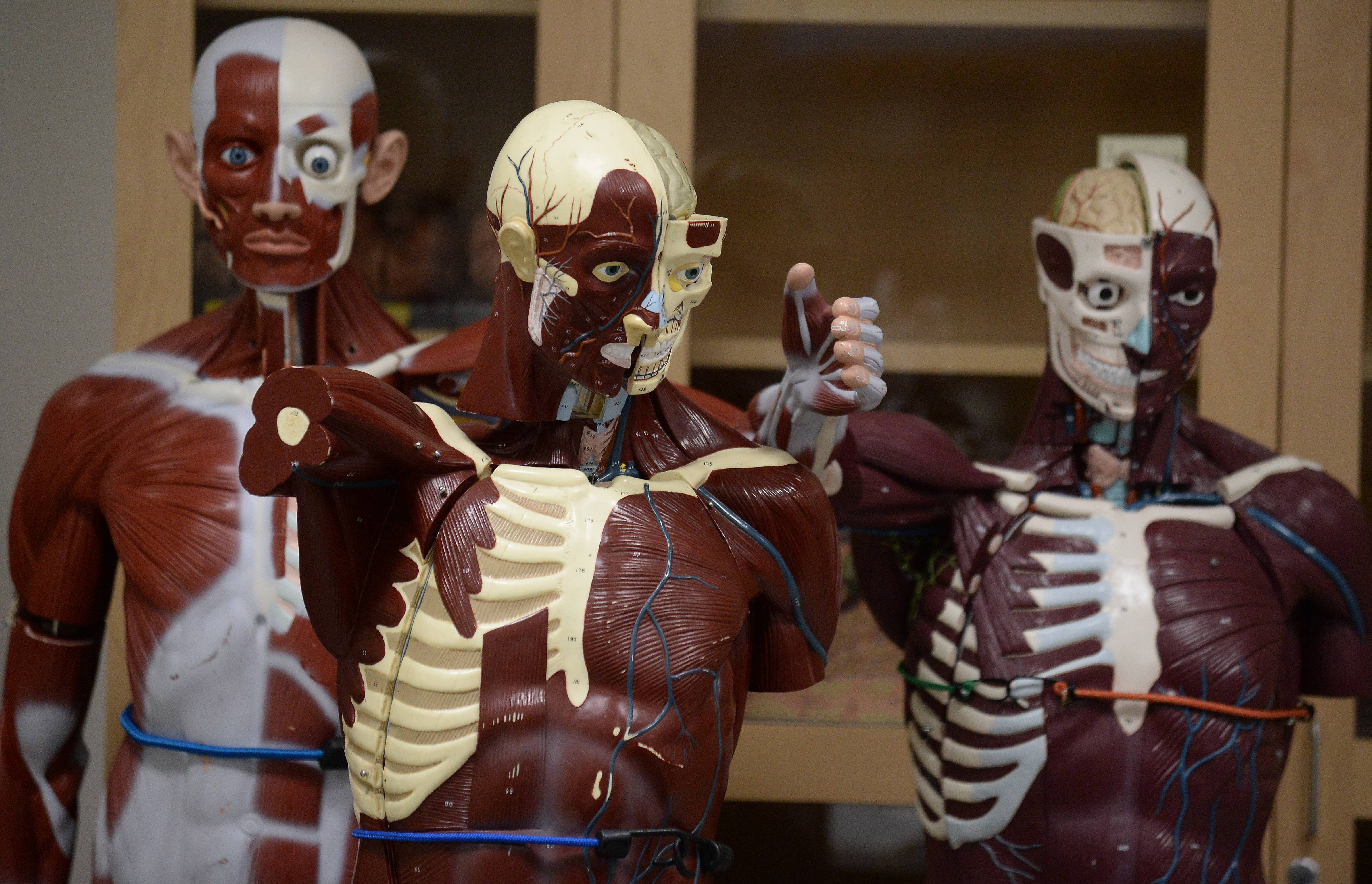 Anatomical human figures are among the lab features in the new Science and Health Careers Center at Oakton Community College in Des Plaines.