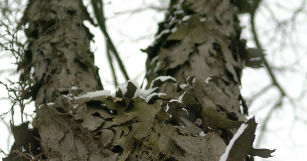 Tree Identification - Sacramento Tree Foundation
