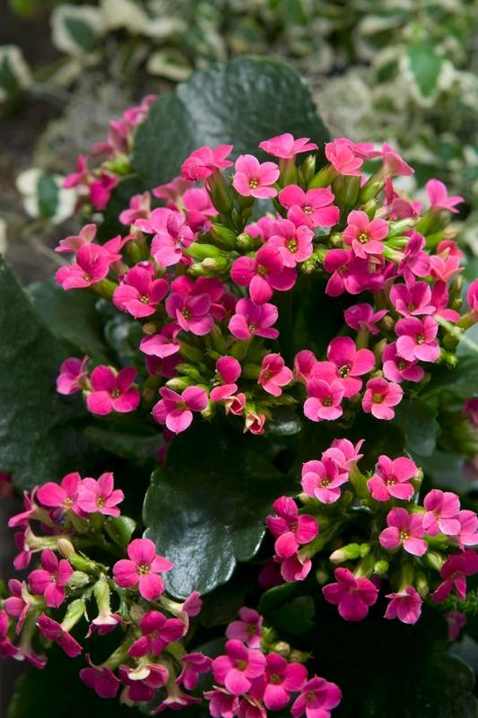 Succulent houseplant delivers indoor color kalanchoe flowers may be pink orange yellow red or white mightylinksfo Image collections