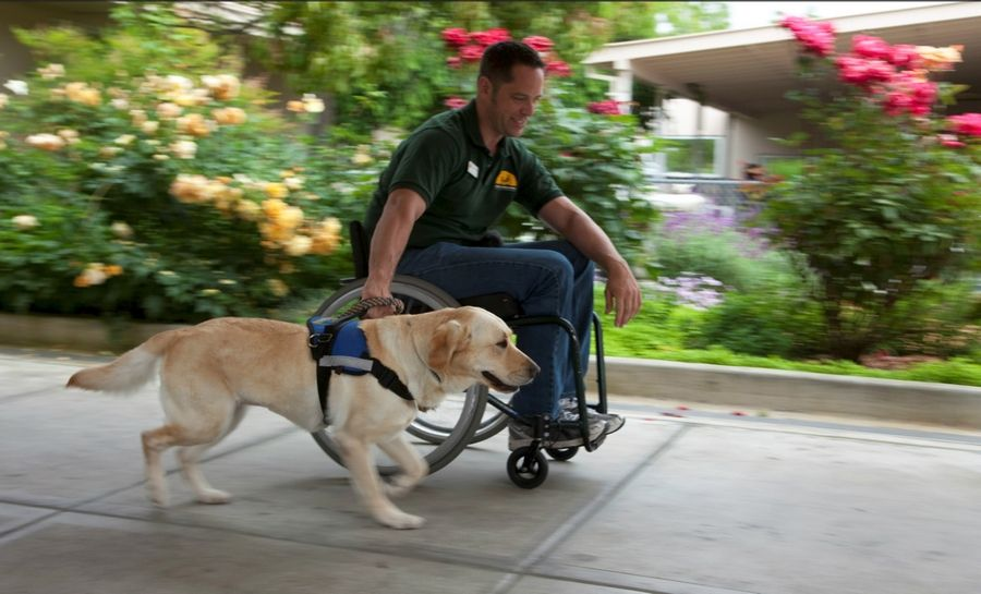 Wearing a special harness, this dog from Canine Companions for Independence can pull a wheelchair down a sidewalk in the summer or even through snow and ice.