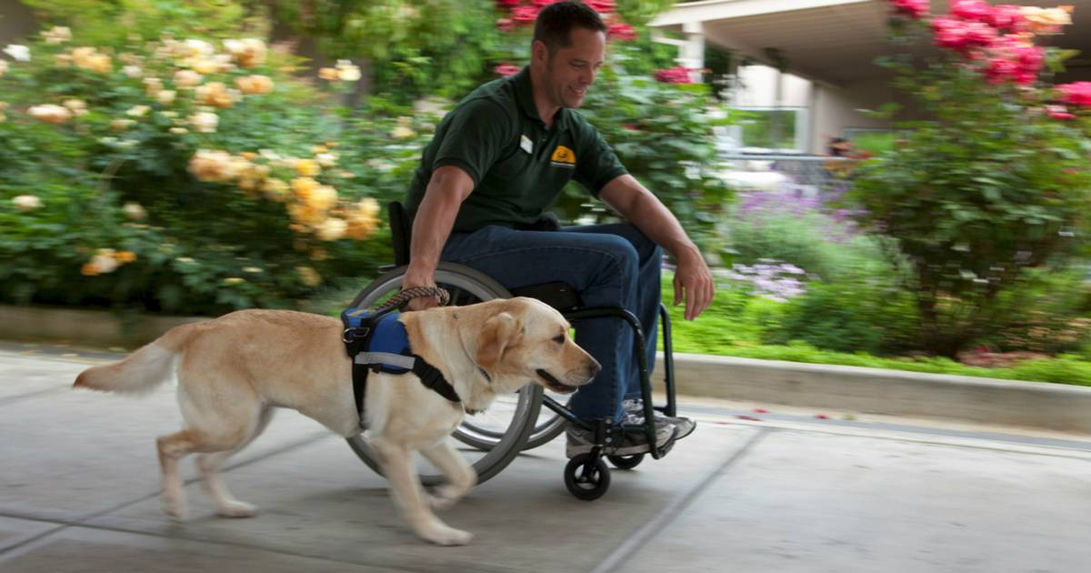 Service dogs help people in wheelchairs navigate winter
