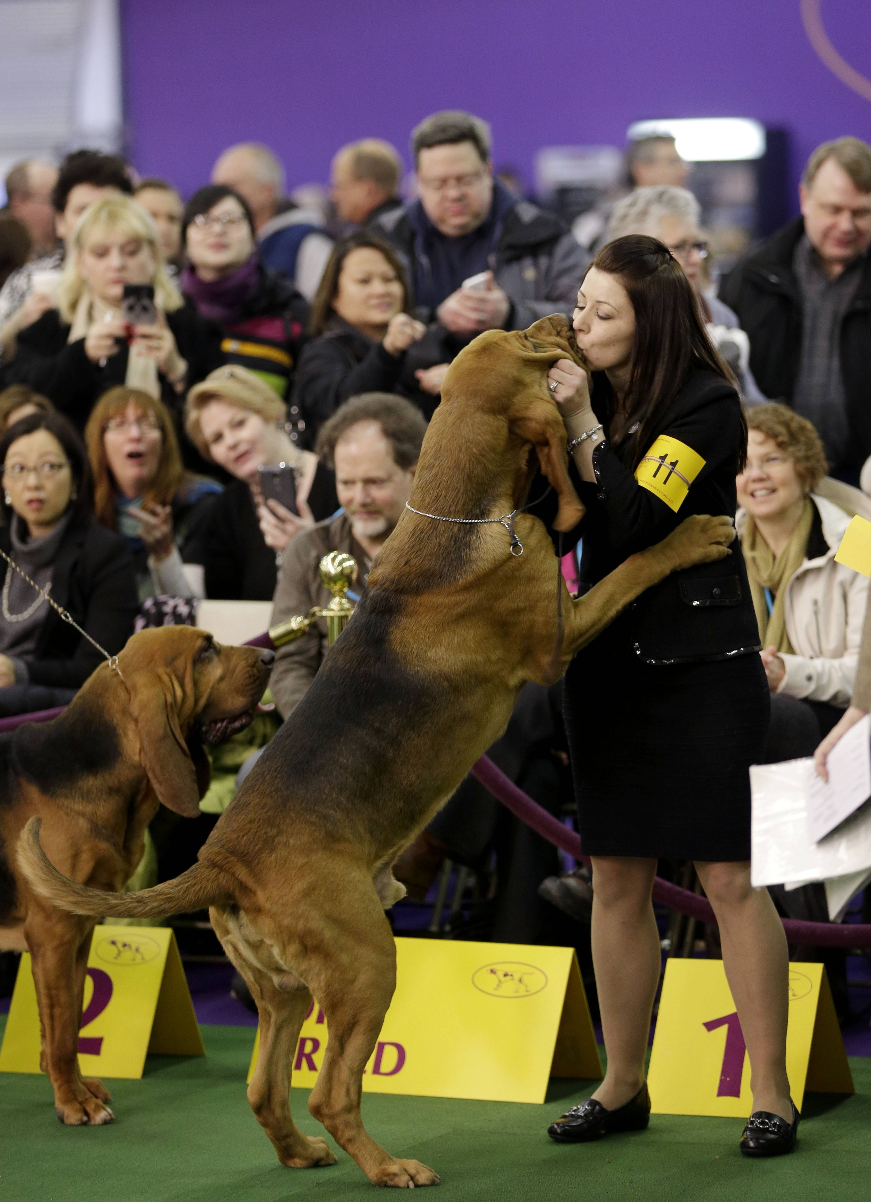 Images: Beagle Miss P pulls an upset at Westminster