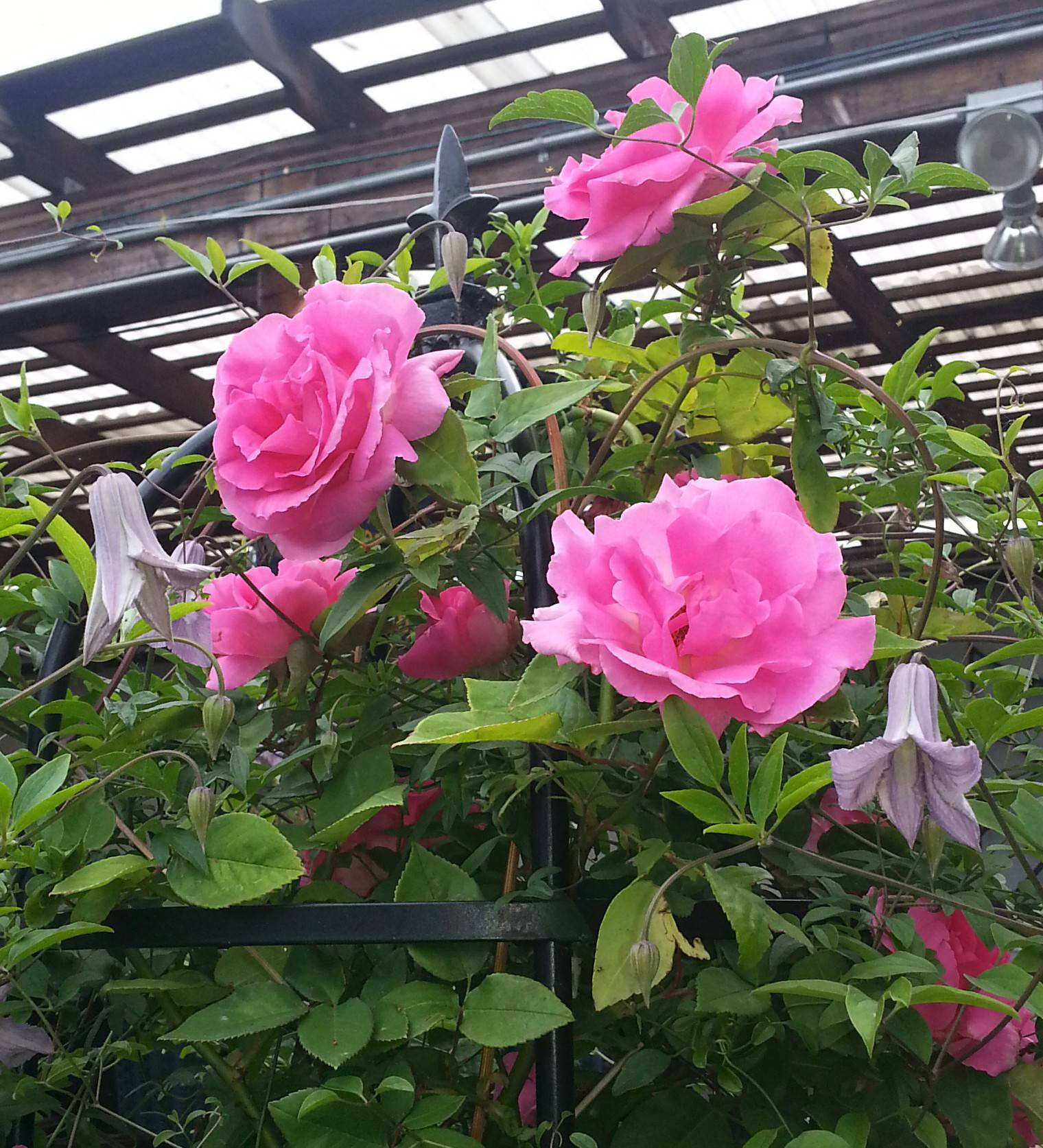 Disease-resistant antiques roses, like these Zephirine Droughin, also known as bourbon roses, will be among the rare varieties brought by Gethsemane Garden Center.