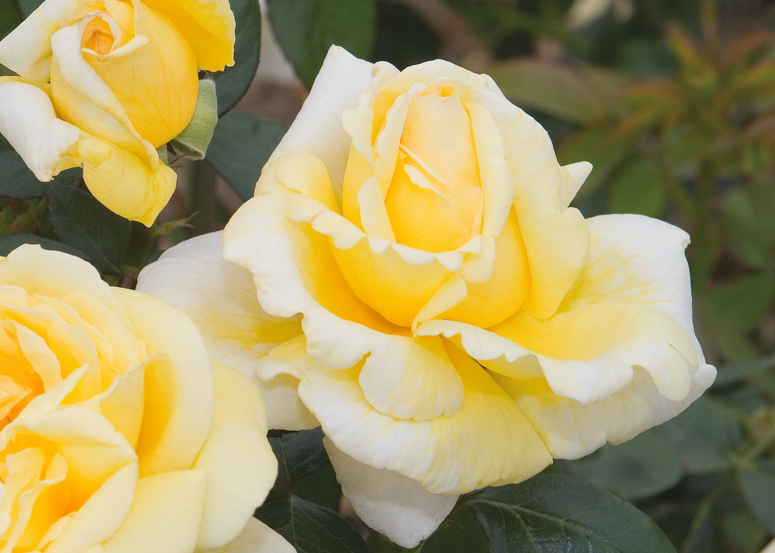 Classic high centers with soft petals fall away in a soft yellow sit atop long stems in the Eternal Flame rose.