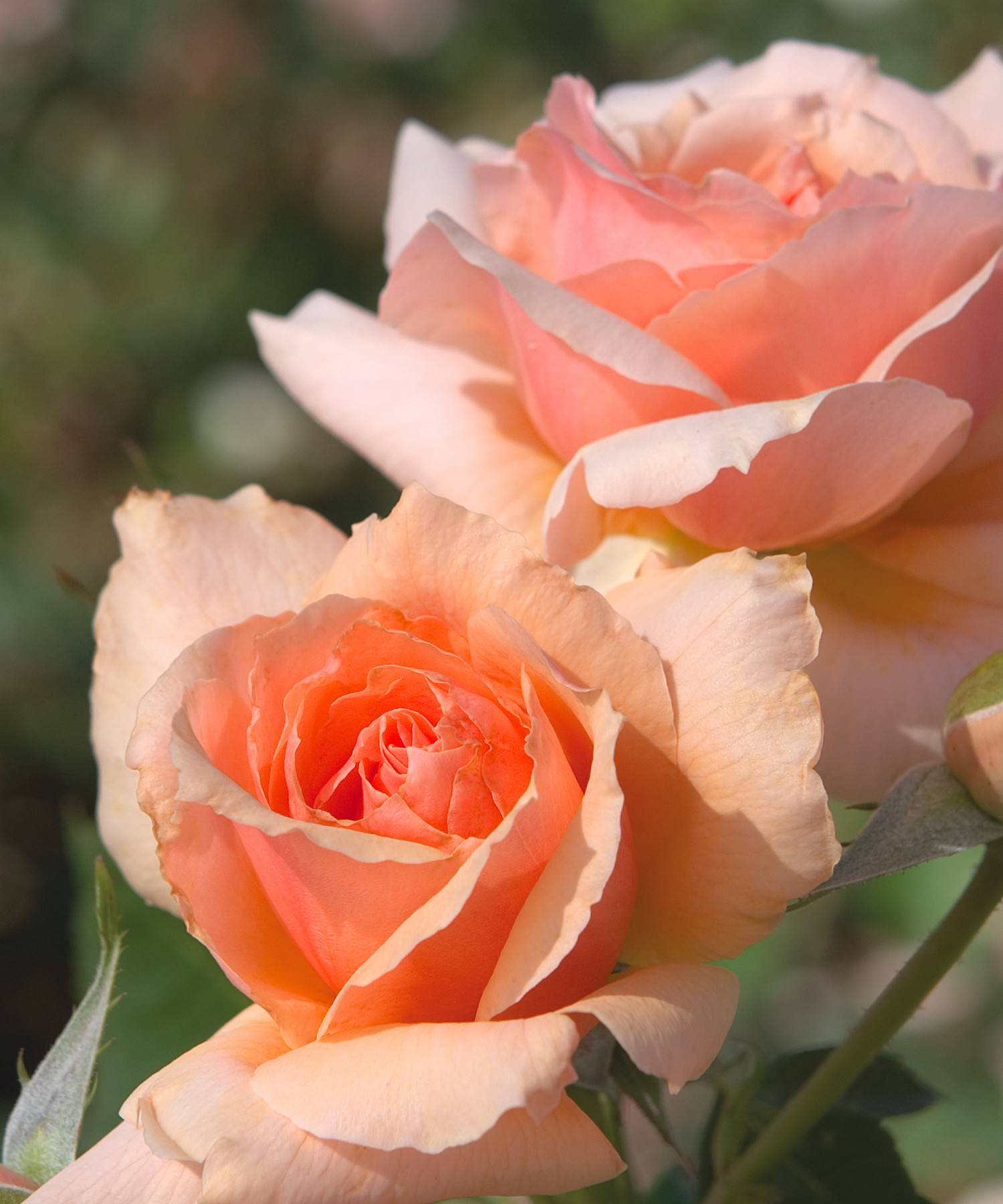 "Ruffled edges and soft-green foliage set ""Apricot Candy"" apart from other roses. The low-maintenance hybrid tea rose comes from the same company that brought gardeners the famous Knock Out and Drift roses."