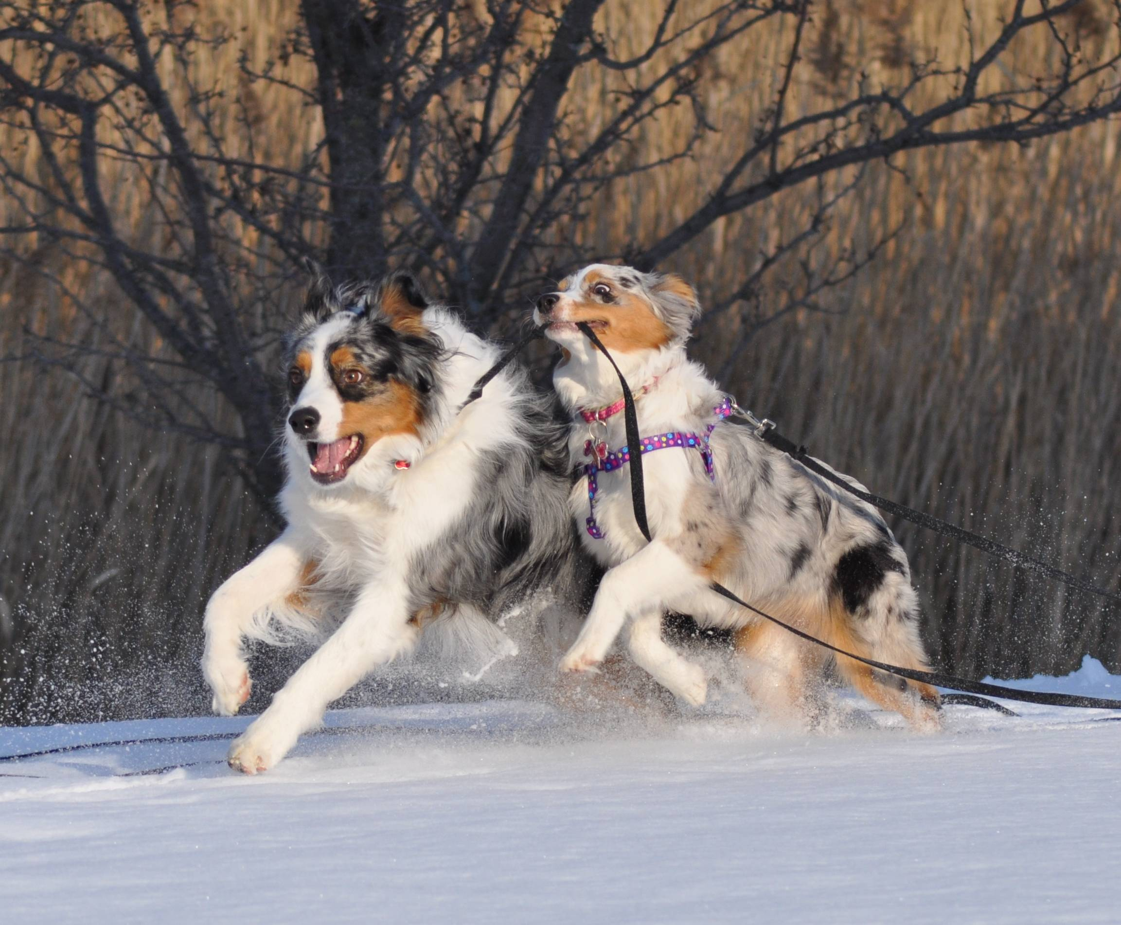 I had taken this photo of our dogs playing in the snow in our backyard recently. I did a rapid firing of picture taking so I didn't miss anything and I think that both the action and great color were captured.