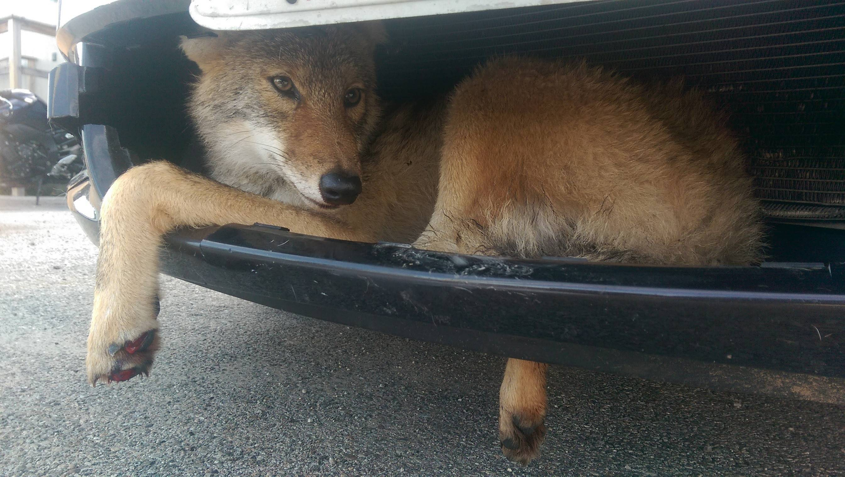 Coyote rescued from car grille returns to wild