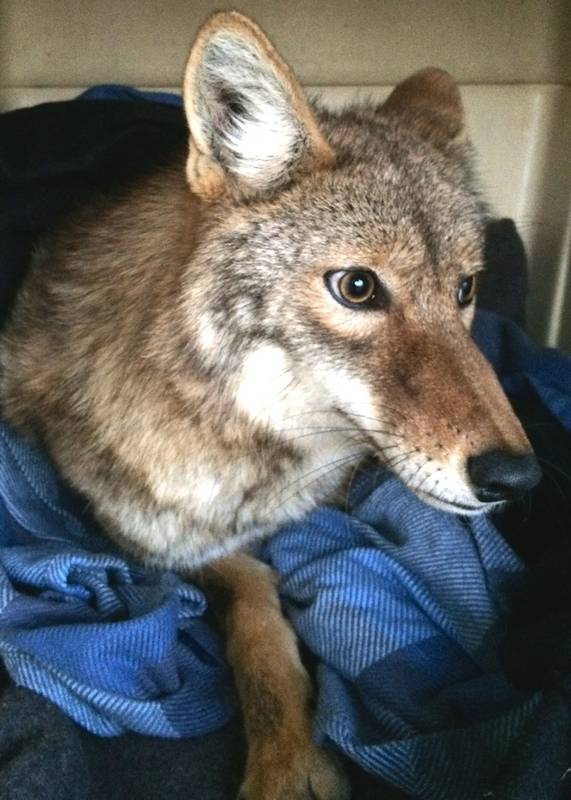 Coyote Stuck In Car Grill