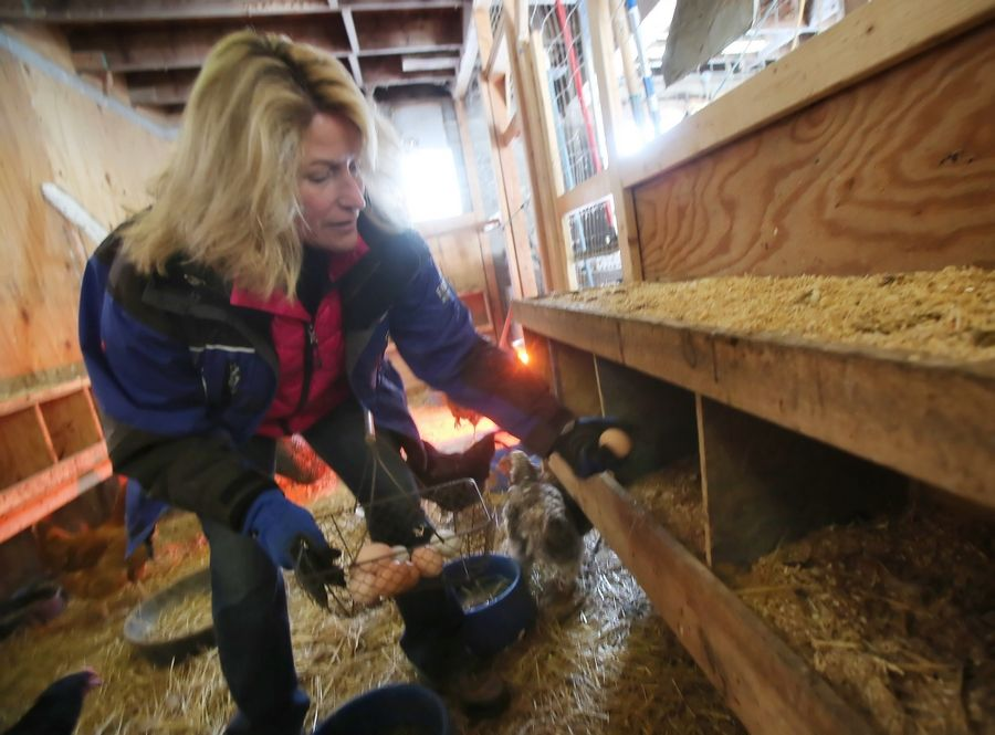 Gathering fresh eggs from her chicken coop in Wauconda, businesswoman Kellie Burke says she started her Urban Chicken Rentals business to give other suburbanites the chance to try out backyard chickens on a small scale.