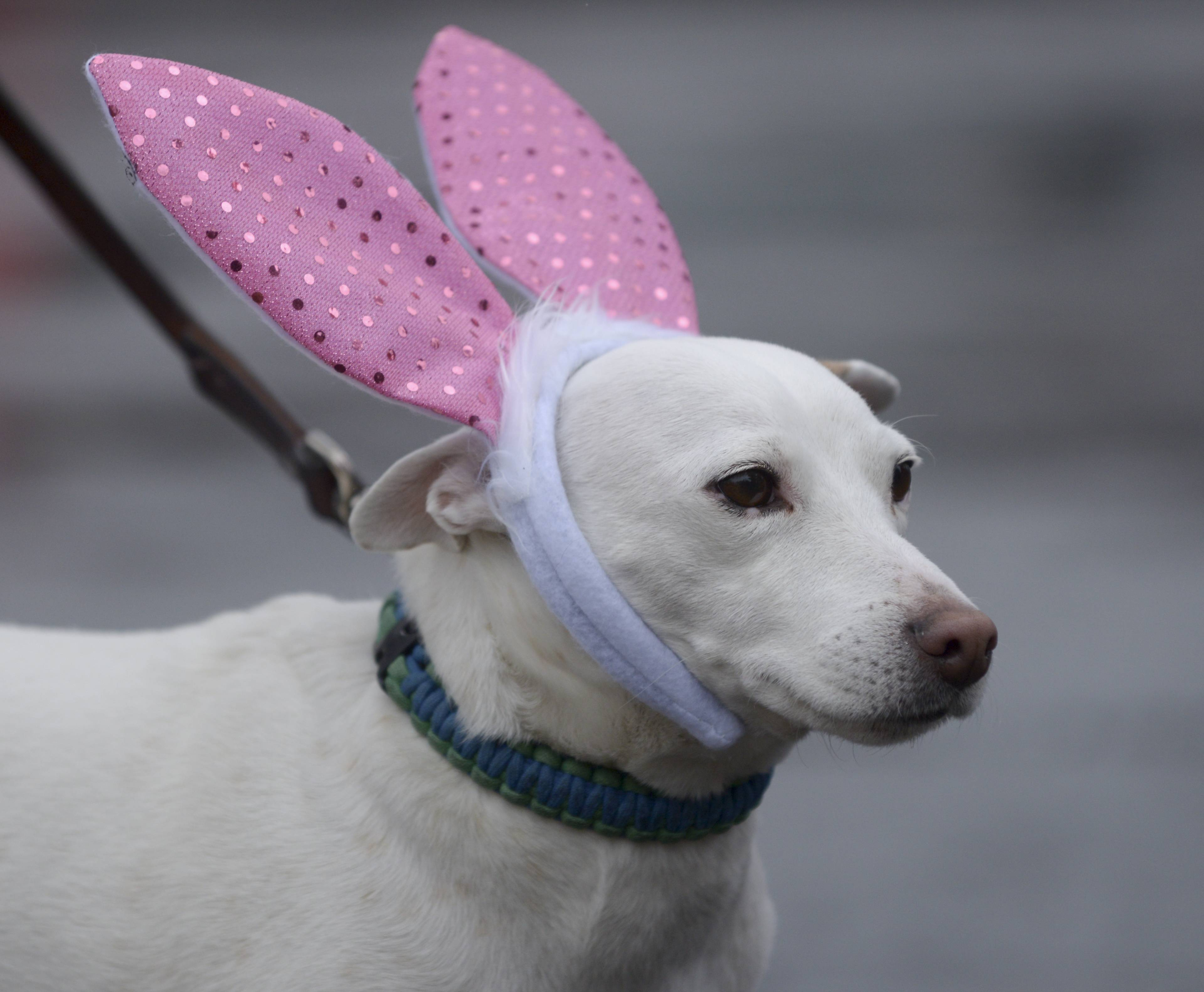 "Jack Russell Terrier ""Charlie"" dons a pair of rabbit ears for the annual Doggie Egg Hunt and costume contest at the Cabin Nature Center White Oaks Dog Park in Wood Dale Sunday."