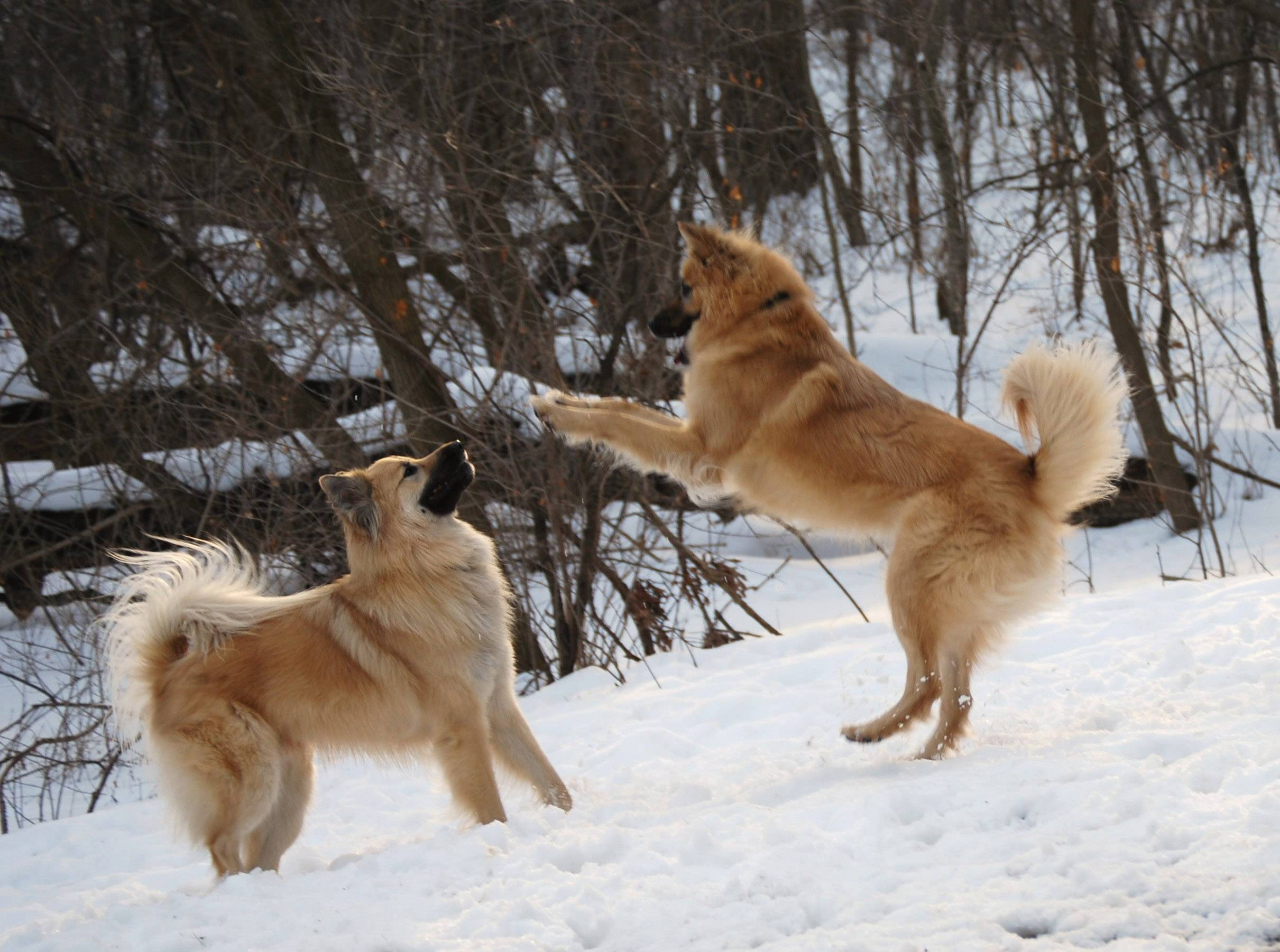 Two dogs named Theo and Hoagi play in a Kildeer yard in 2013.