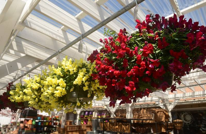Mother S Day Is Always A Busy Time In The Garden Center Hanging Baskets Of Snapdragon