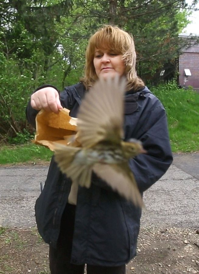 Sandy Fejt of Willowbrook Wildlife Center releases a bird that was rescued earlier this month in downtown Chicago. The center works with Chicago Bird Collision Monitors to treat nearly 3,000 birds a year.