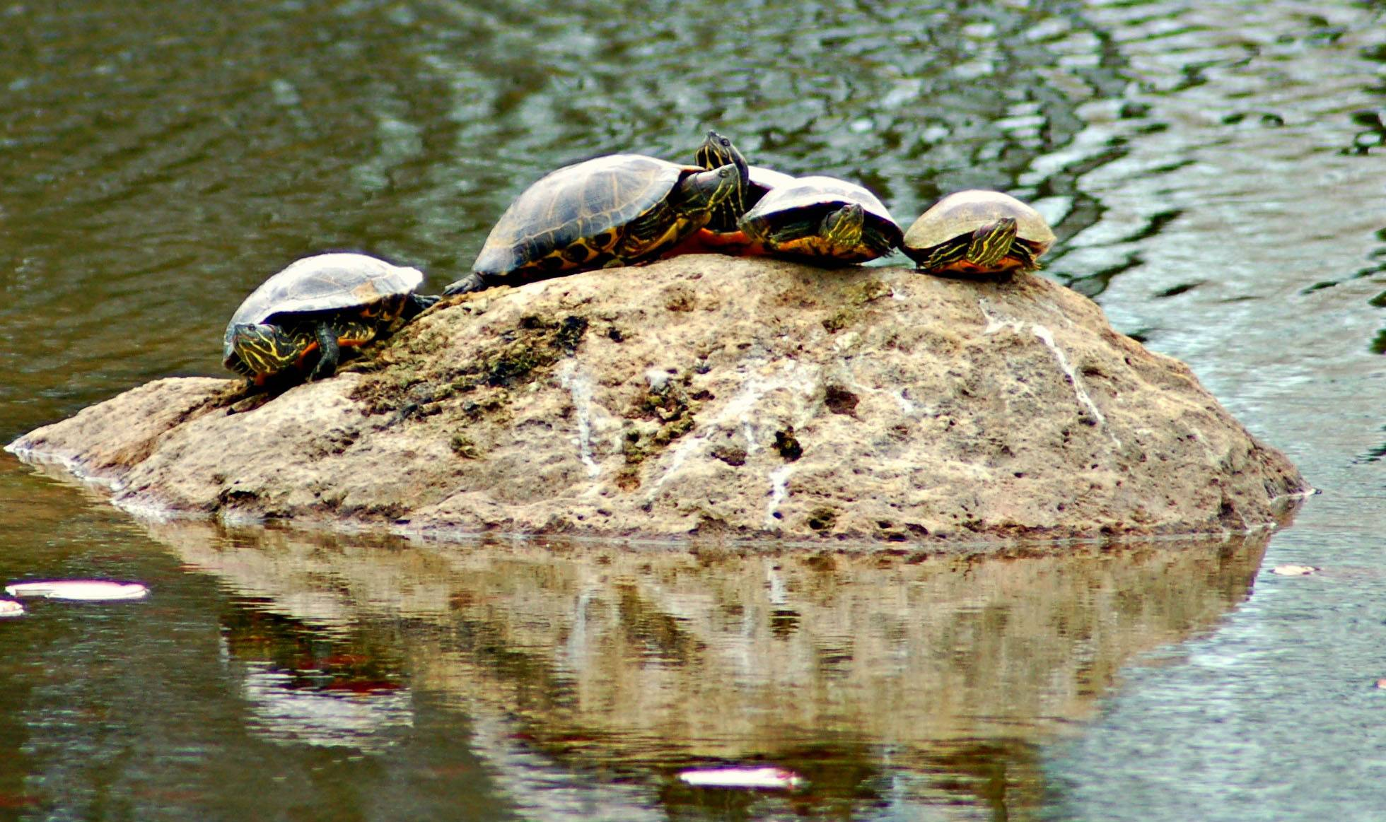 This photo was taken at the Lisle Morton Arboretum of a group of turtles on a rock in the middle of the pond. I site I've never seen there before.