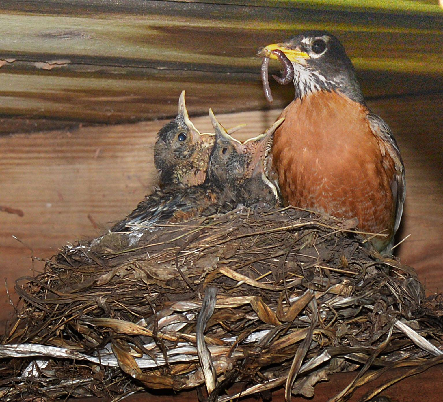 I noticed the robin's nest out of my lower level family room. It was under my deck about 4' above ground. I saw the parents getting worms, and decided to sit very quietly outside about 9' from the nest. Once the parents were used to me they would fly in and feed them worms. I clicked off a few photos and caught 2 of the 3 birds trying to get the worm. A very satisfying experience to see up close the babies and parents tending to the newborns.