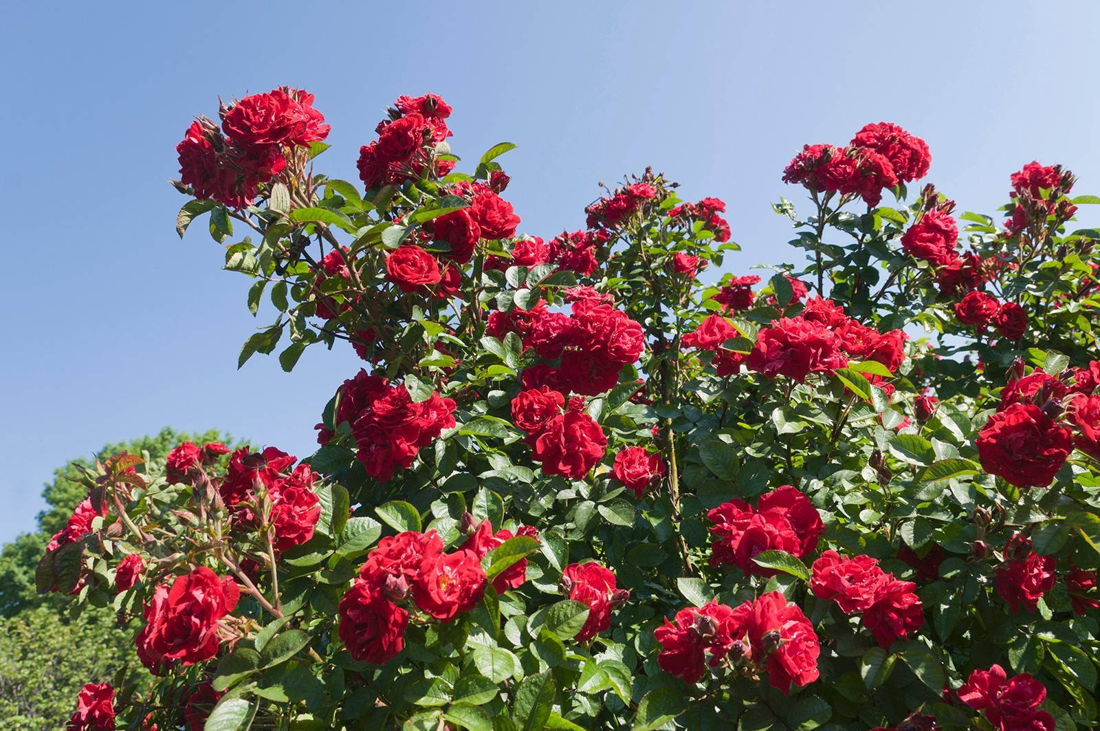 Rugosa roses (Rosa rugosa) should not be sprayed for black spot, as the fungicides can damage their foliage.