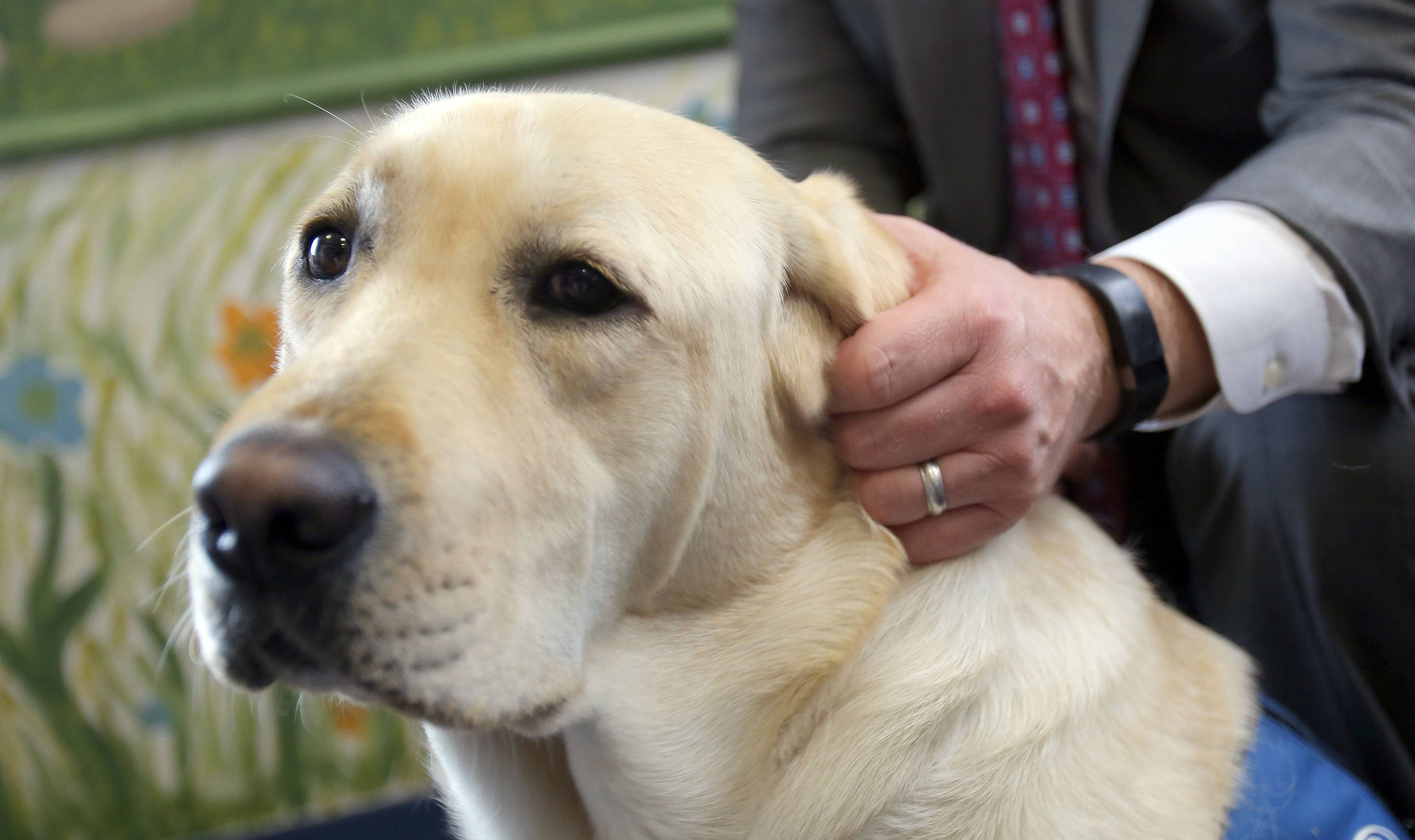 Mitchell, a yellow Labrador retriever, with Lake County State's Attorney Michael Nerheim. Mitchell is believed to be the first facility dog owned by an Illinois state's attorney's office and he may expand into courtroom work if Gov. Bruce Rauner signs a measure into law.