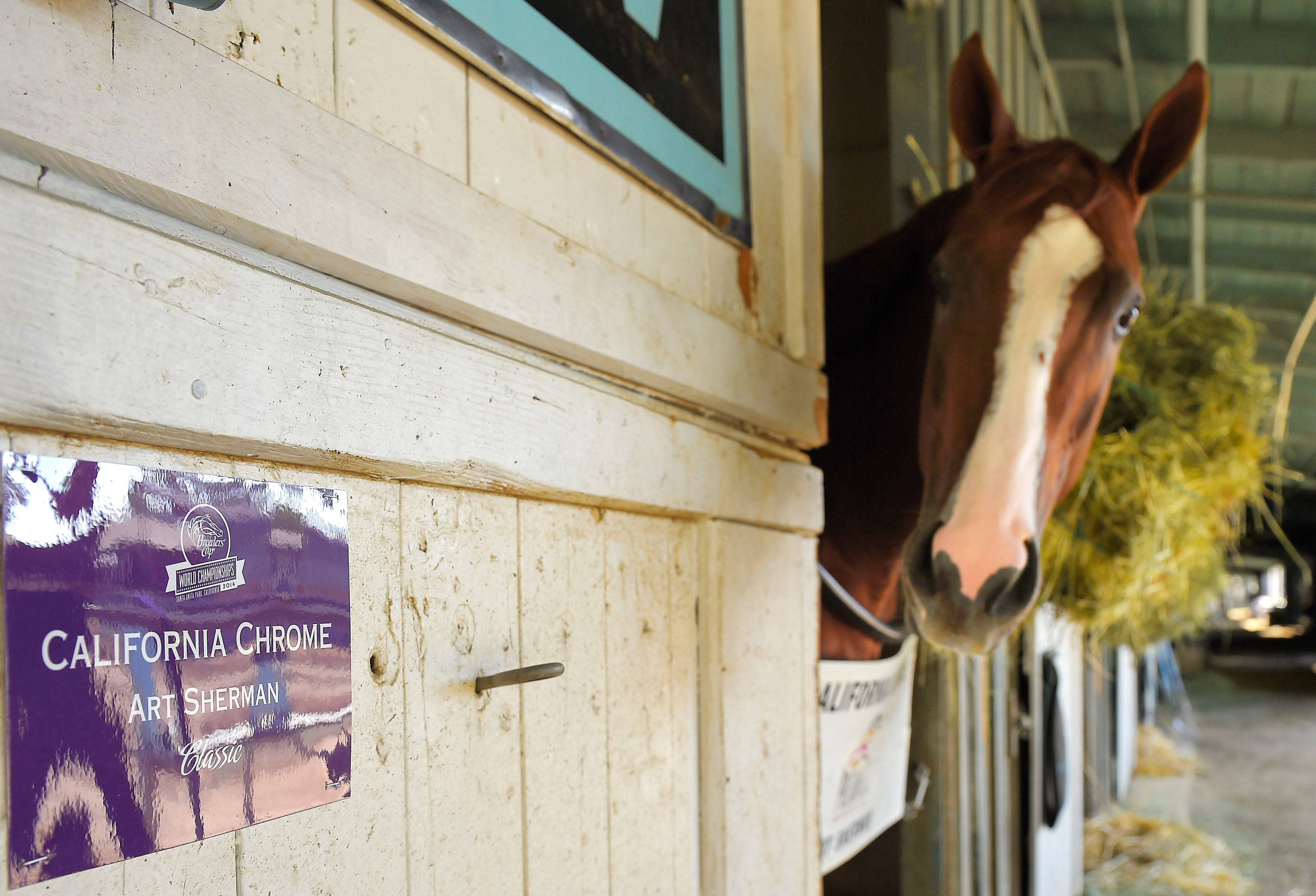 California Chrome is expected to be shipped to Arlington International in the next few weeks to prepare for the Arlington Million.