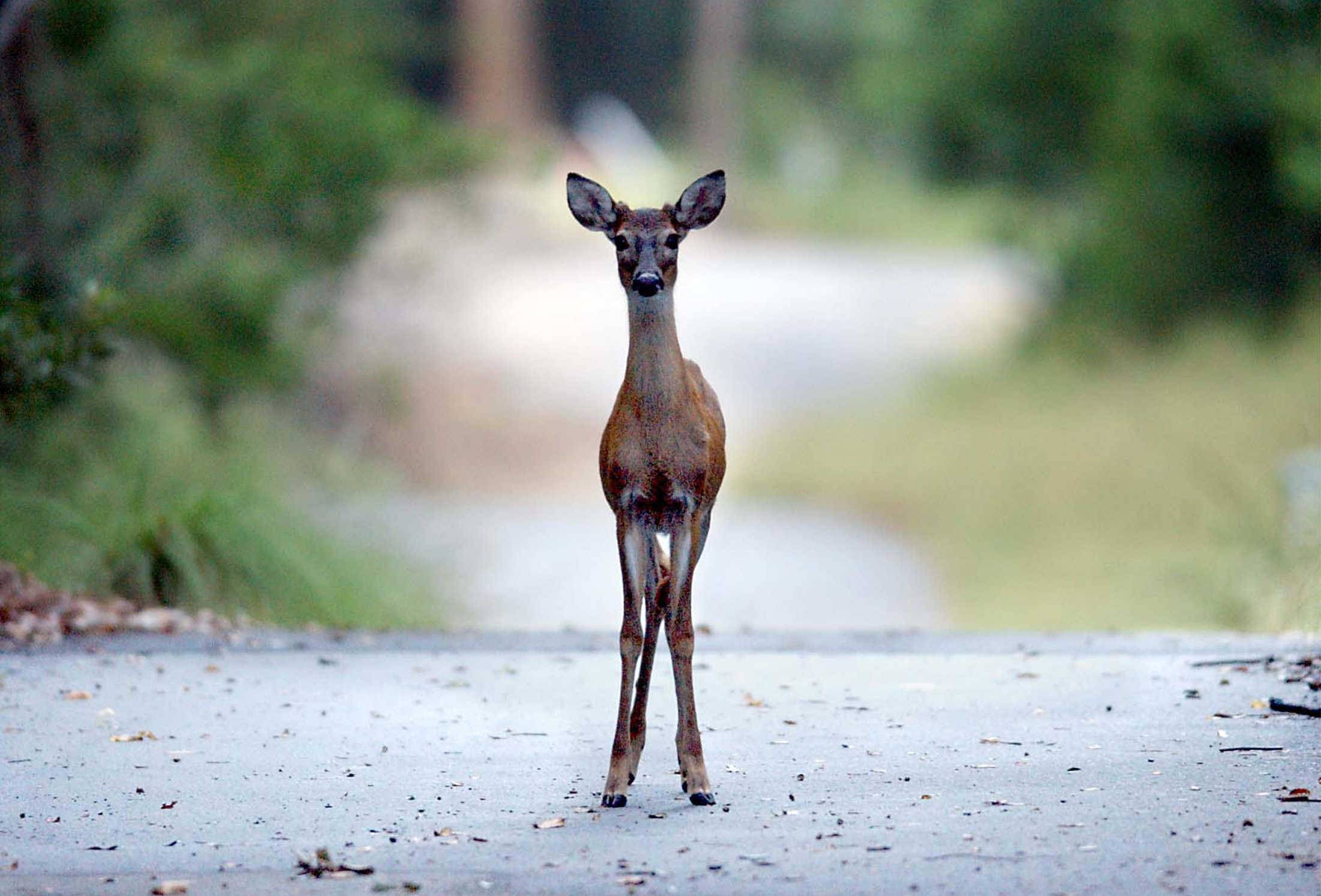 Drivers must always be attentive and ready for anything. Deer cause more human deaths each year than any other animal.