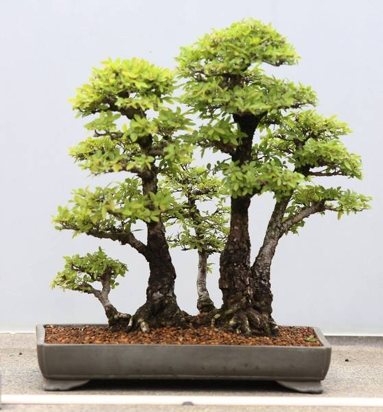Com More Chinese Elm Is Part Of The Bonsai Collection At