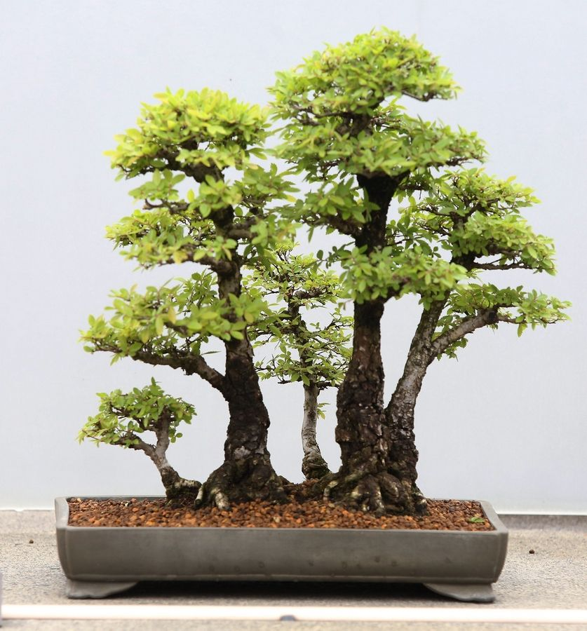 Bonsai Curator Finds His Groove At Chicago Botanic Garden