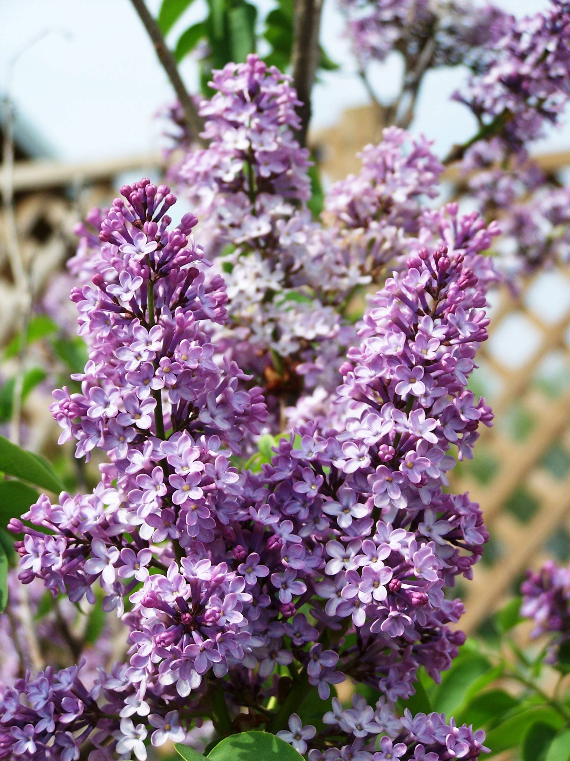 Plant a lilac near a window so their fragrance can waft indoors.