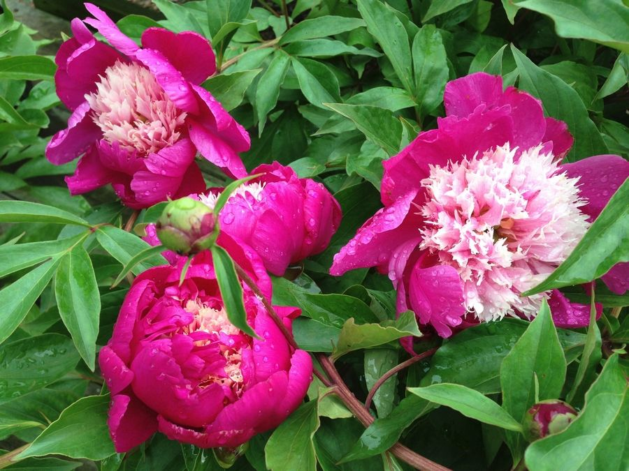 A peony's perfume may call to mind childhood memories.