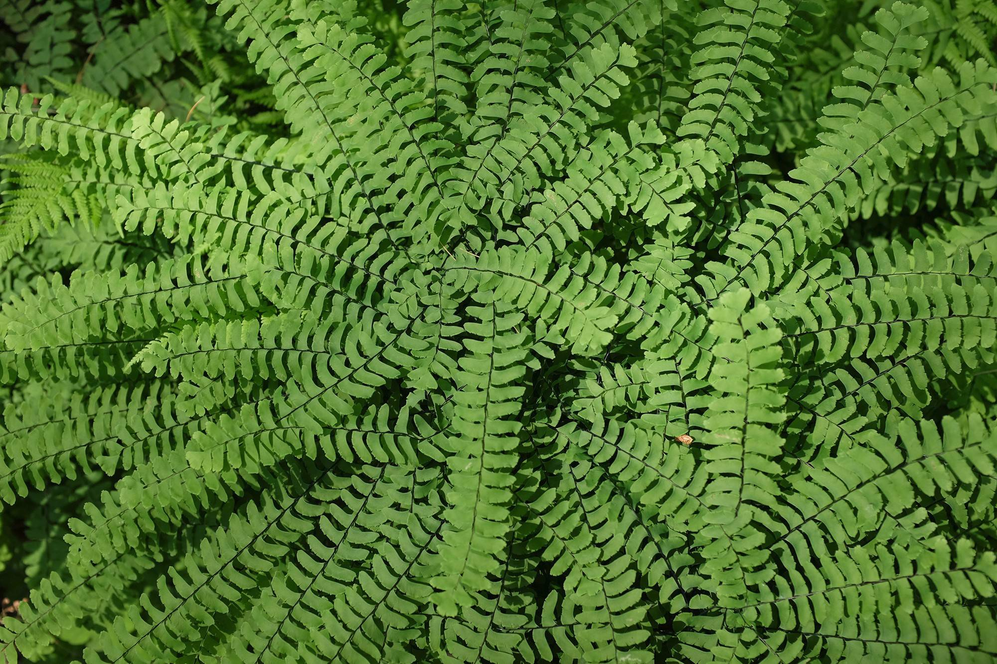 The foliar swirls of a New York maidenhair fern are among the most beguiling leaf patterns of all plants in the garden.