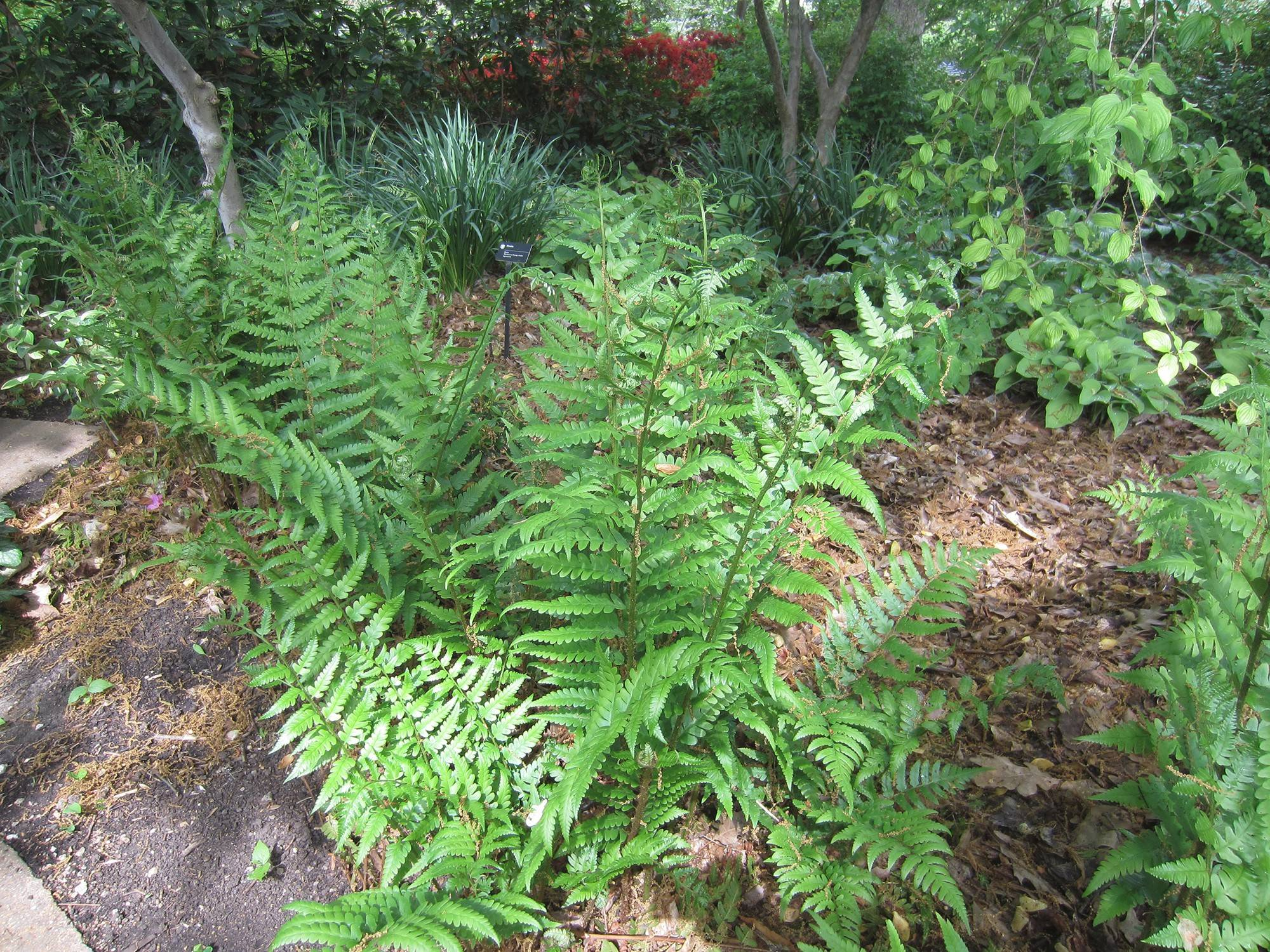 The Dixie wood fern, a natural hybrid of two wood fern species, grows to 4 feet or more.