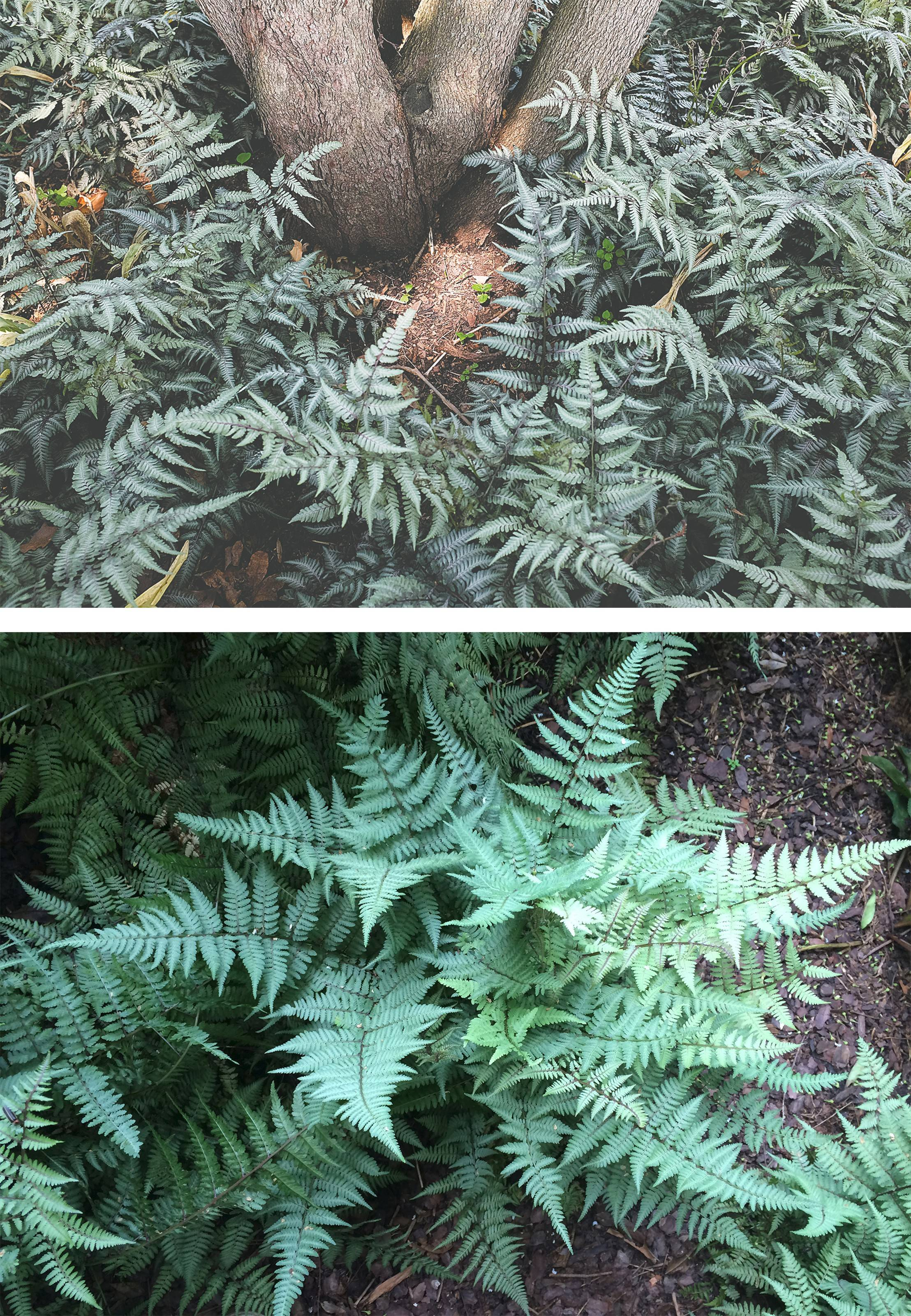Top, the Japanese painted fern, valued for its silver foliage. At bottom, the Ghost fern which exhibits extraordinary vigor.