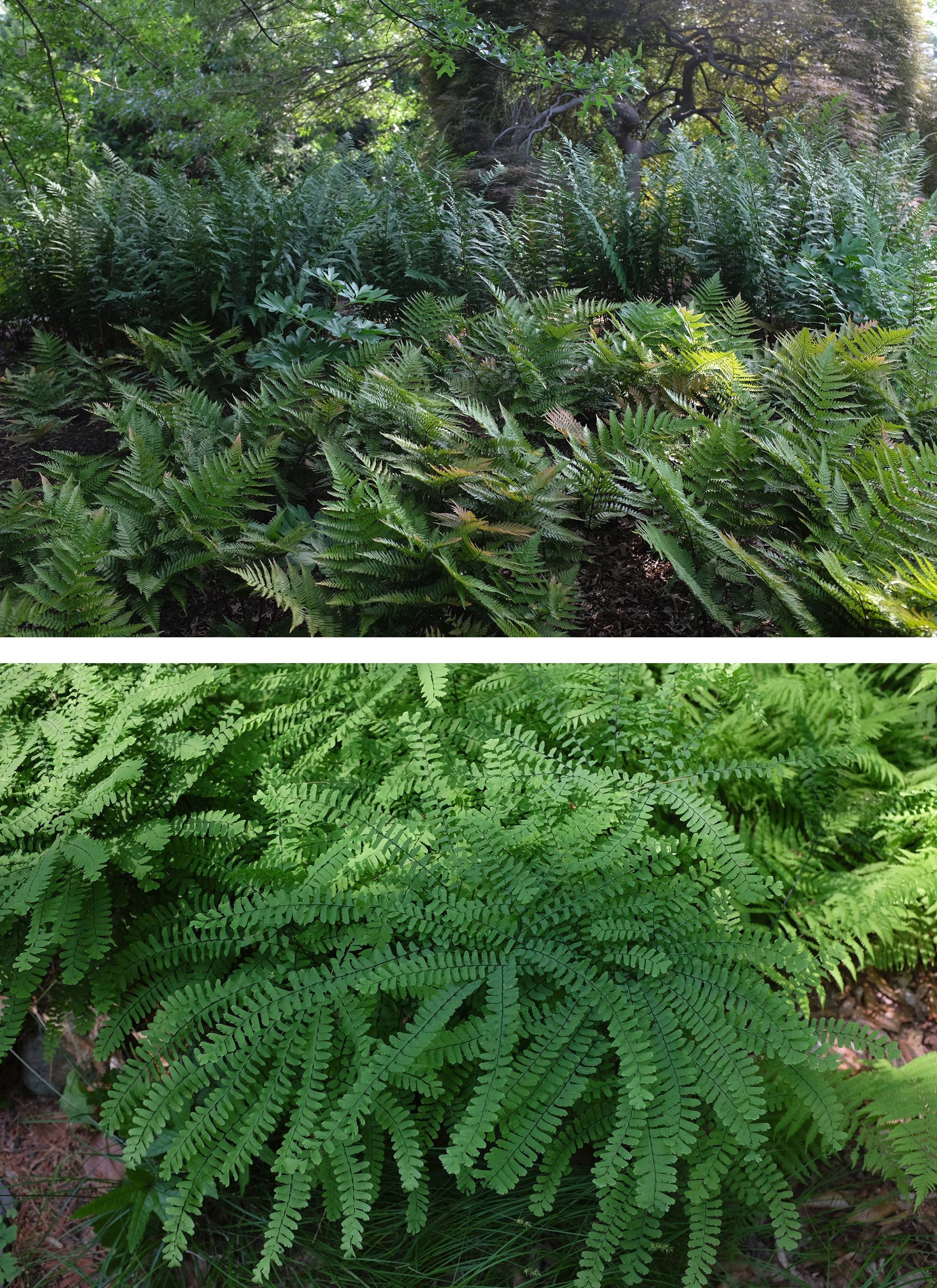 Top, the Autumn fern Brilliance, one of the few evergreen ferns. At bottom, the Northern Maidenhair fern has a sculptural quality.