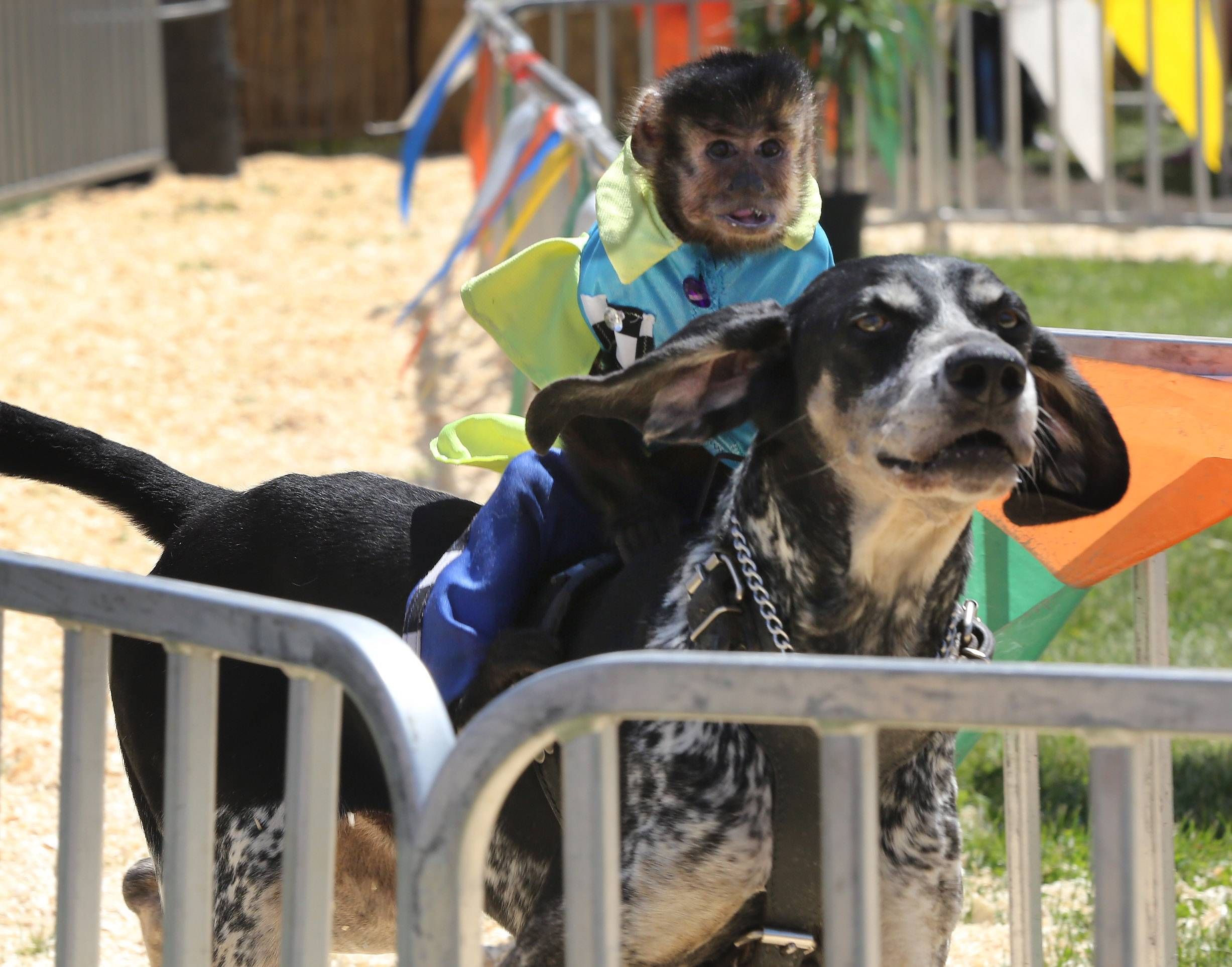 Burt, a capuchin monkey, rides Scooby Blu during the Banana Derby races Wednesday at the Lake County Fair in Grayslake. The show featured capuchin monkeys riding dogs around a track.