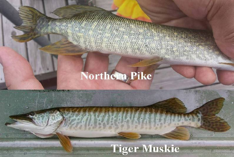 Since the spring, the Lindenhurst Lakes Commission has been receiving reports of anglers catching northern pike in Lake Linden, a species not introduced by the commission. Tiger muskie and natural muskie are often confused with northern pike.