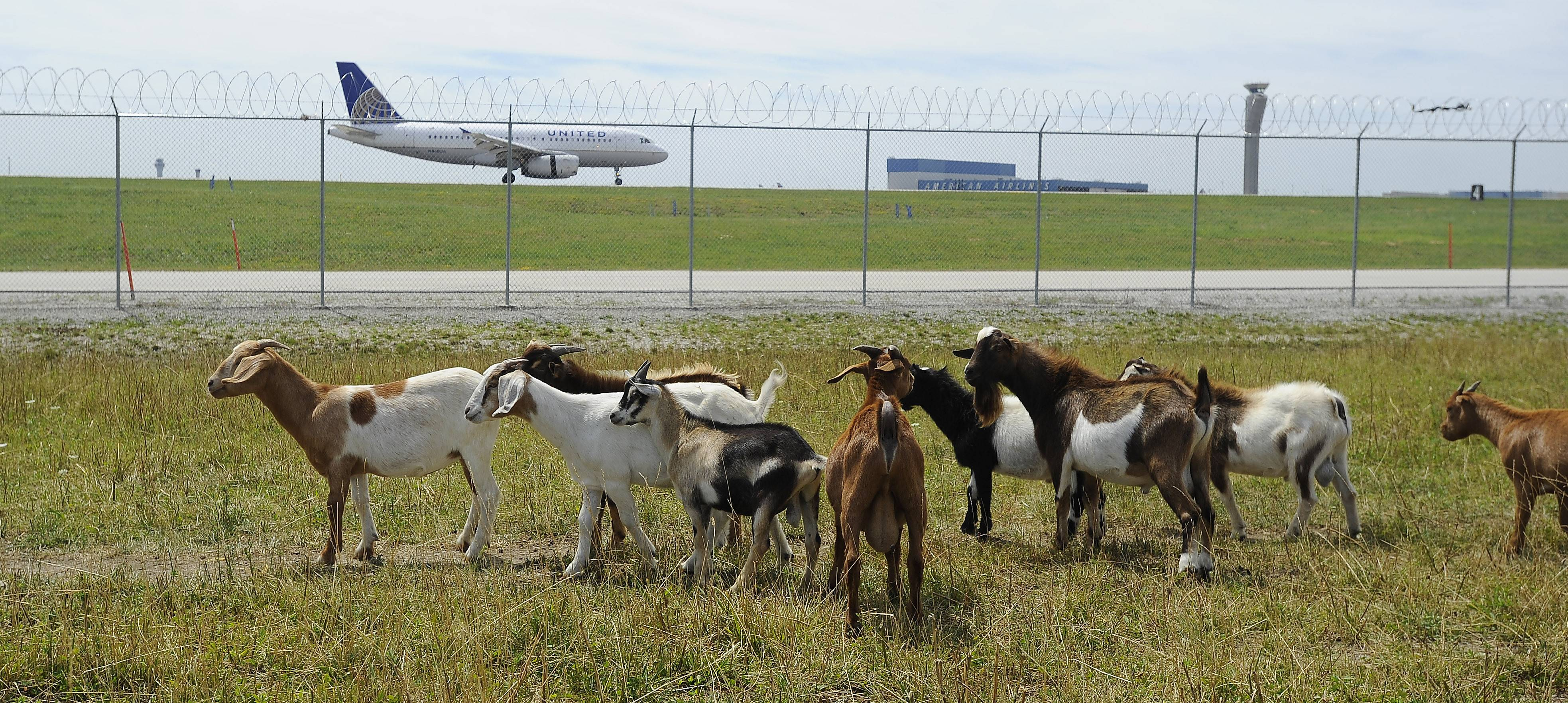 It takes a herd of goats, llamas and sheep to mow O'Hare