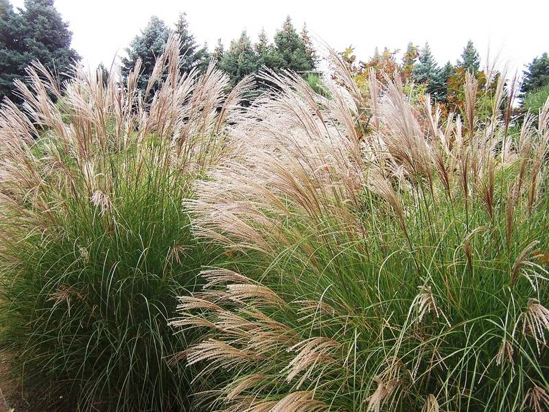 Tall Ornamental Grass Varieties Ornamental grasses are nearly perfect perennials maiden grass shows off its magnificent flower heads in late summer workwithnaturefo
