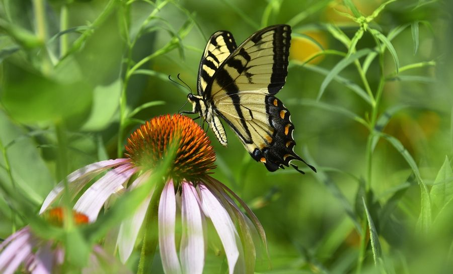 Bringing butterflies to the Reed Turner Woodlands is the goal of the garden established by St. Viator teen Erin McDermott.