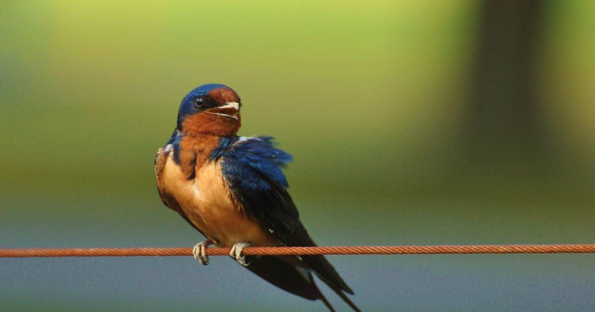 exploring the secret lives of barn swallows exploring the secret lives of barn swallows