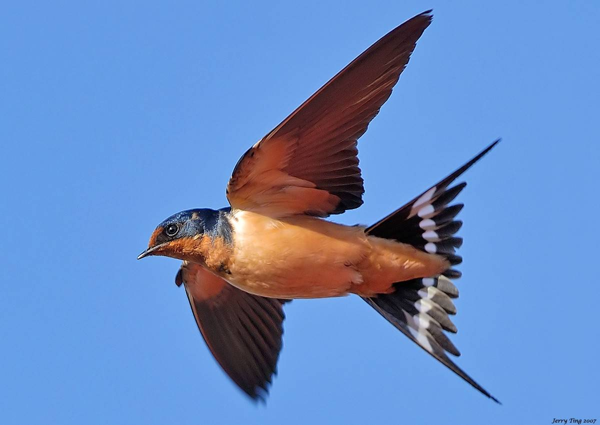 "The barn swallow is easy to identify in flight -- it's our only swallow with a true ""swallow tail."""