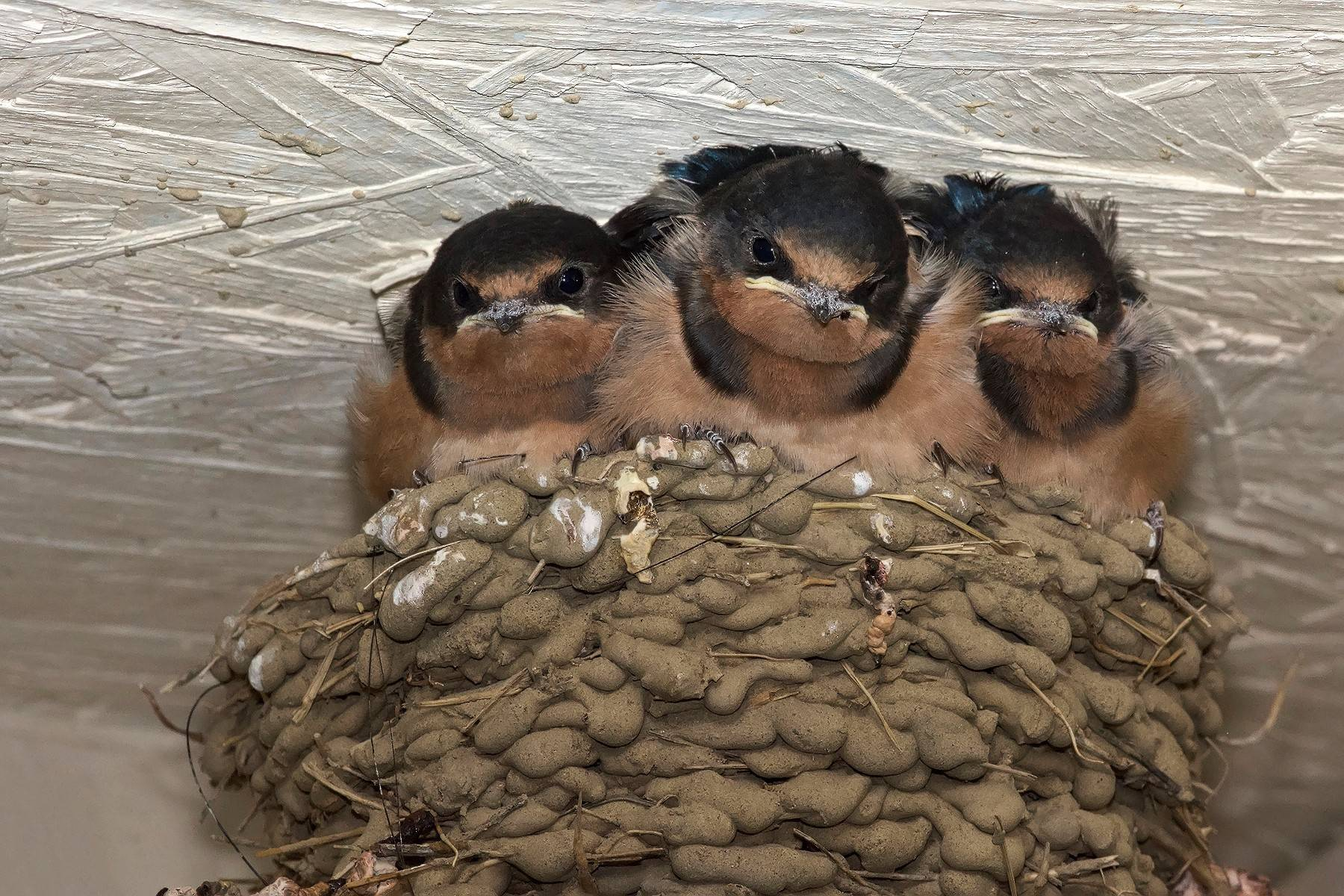 Barn swallow nests are an architectural wonder. During construction, a mated pair might make 1,000 trips to gather mud in their bills. The mud balls are reinforced with grass to add strength.